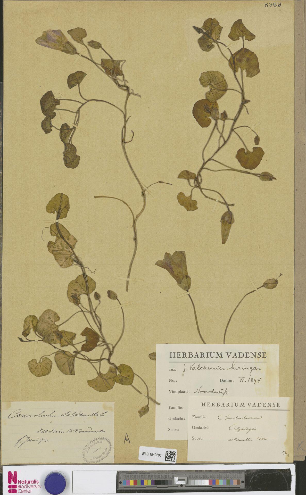 WAG.1542206 | Calystegia soldanella (L.) R.Br.