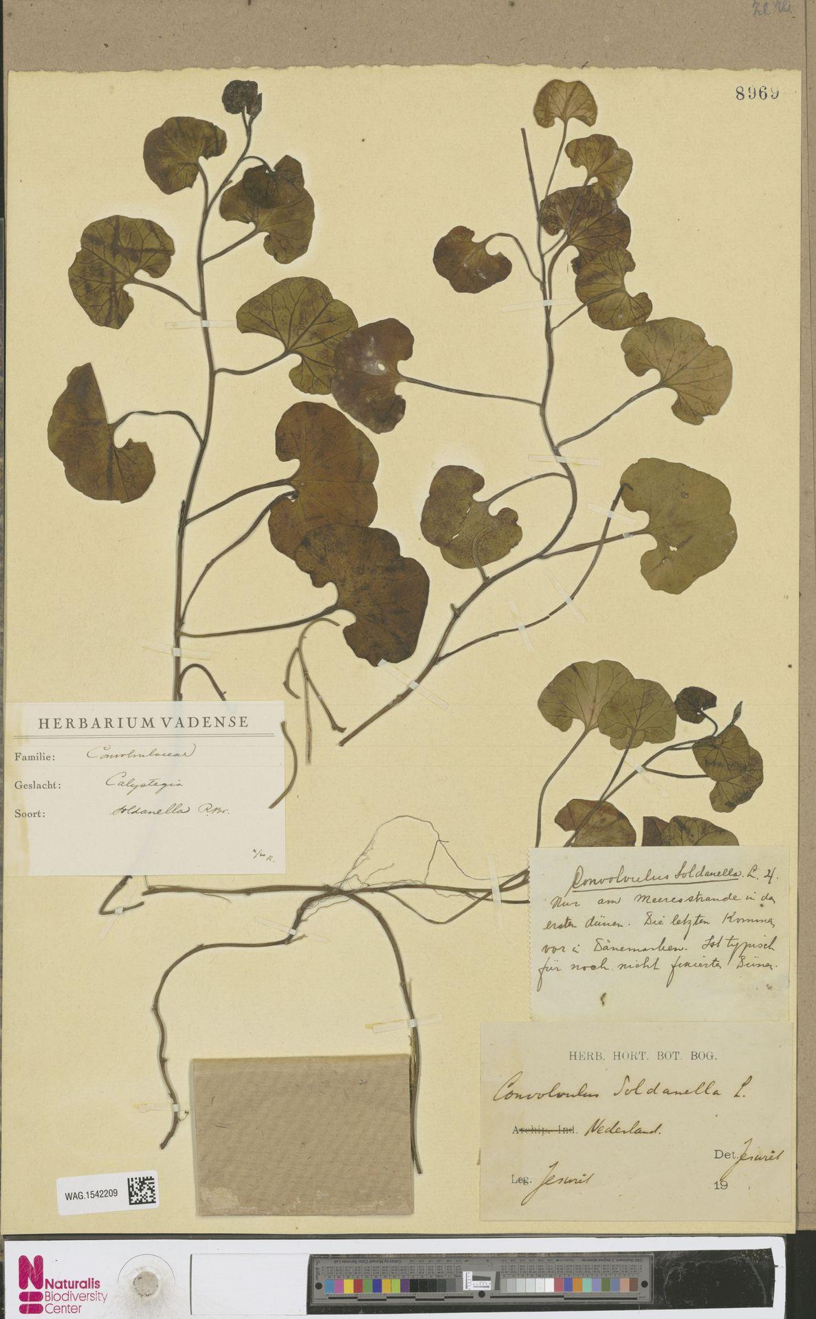 WAG.1542209 | Calystegia soldanella (L.) R.Br.
