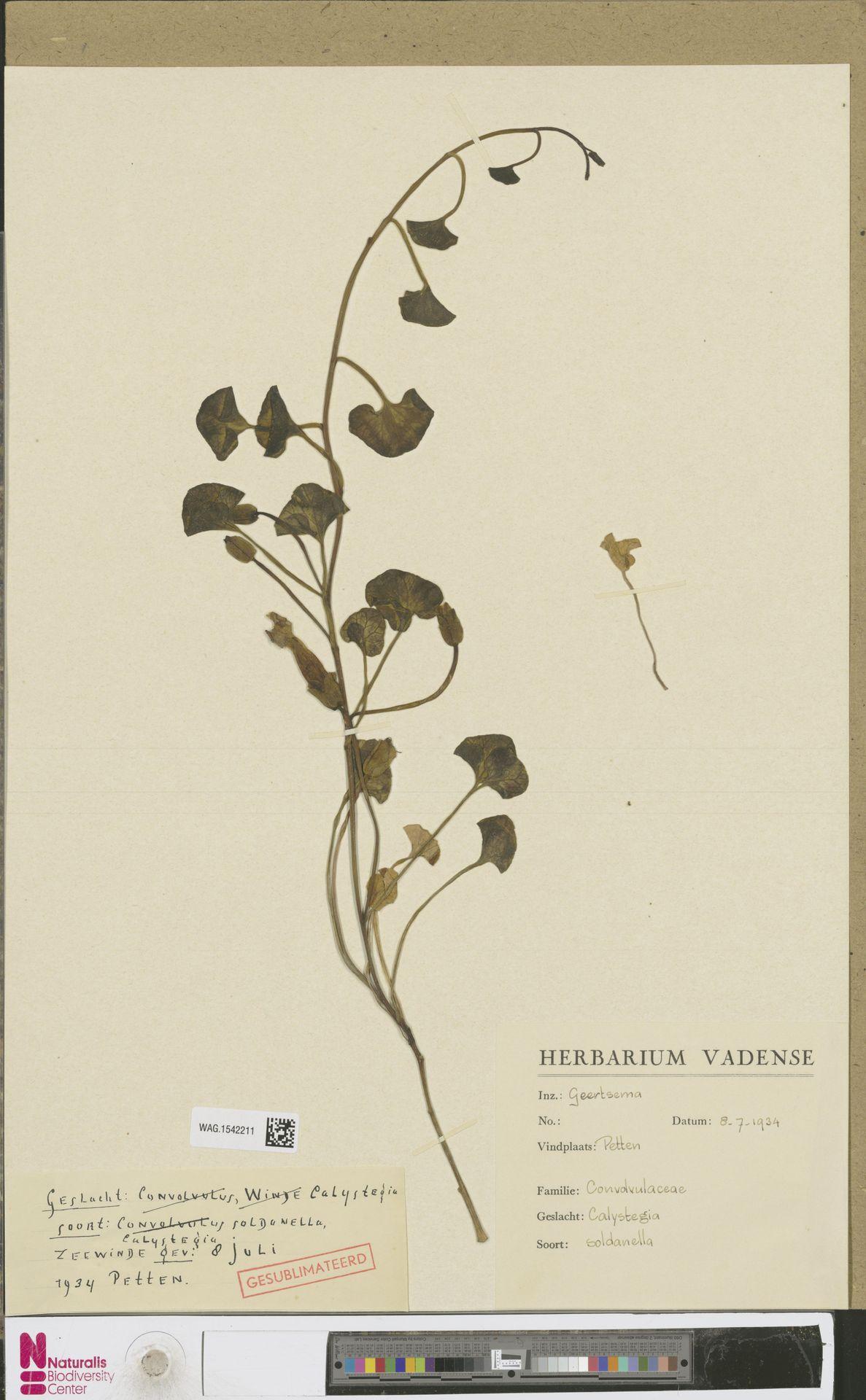 WAG.1542211 | Calystegia soldanella (L.) R.Br.
