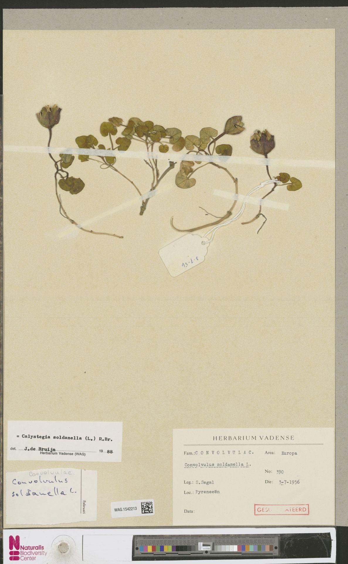 WAG.1542213 | Calystegia soldanella (L.) R.Br.