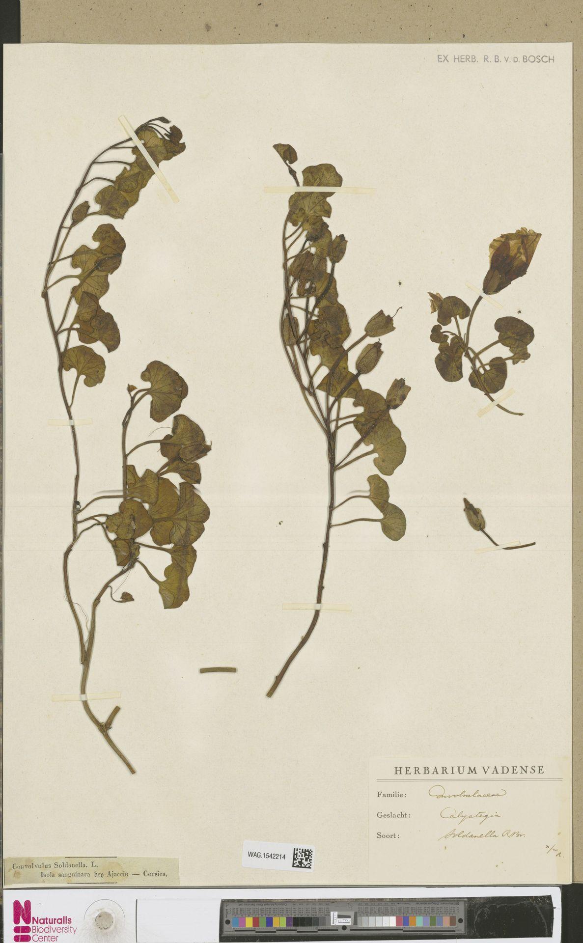 WAG.1542214   Calystegia soldanella (L.) R.Br.