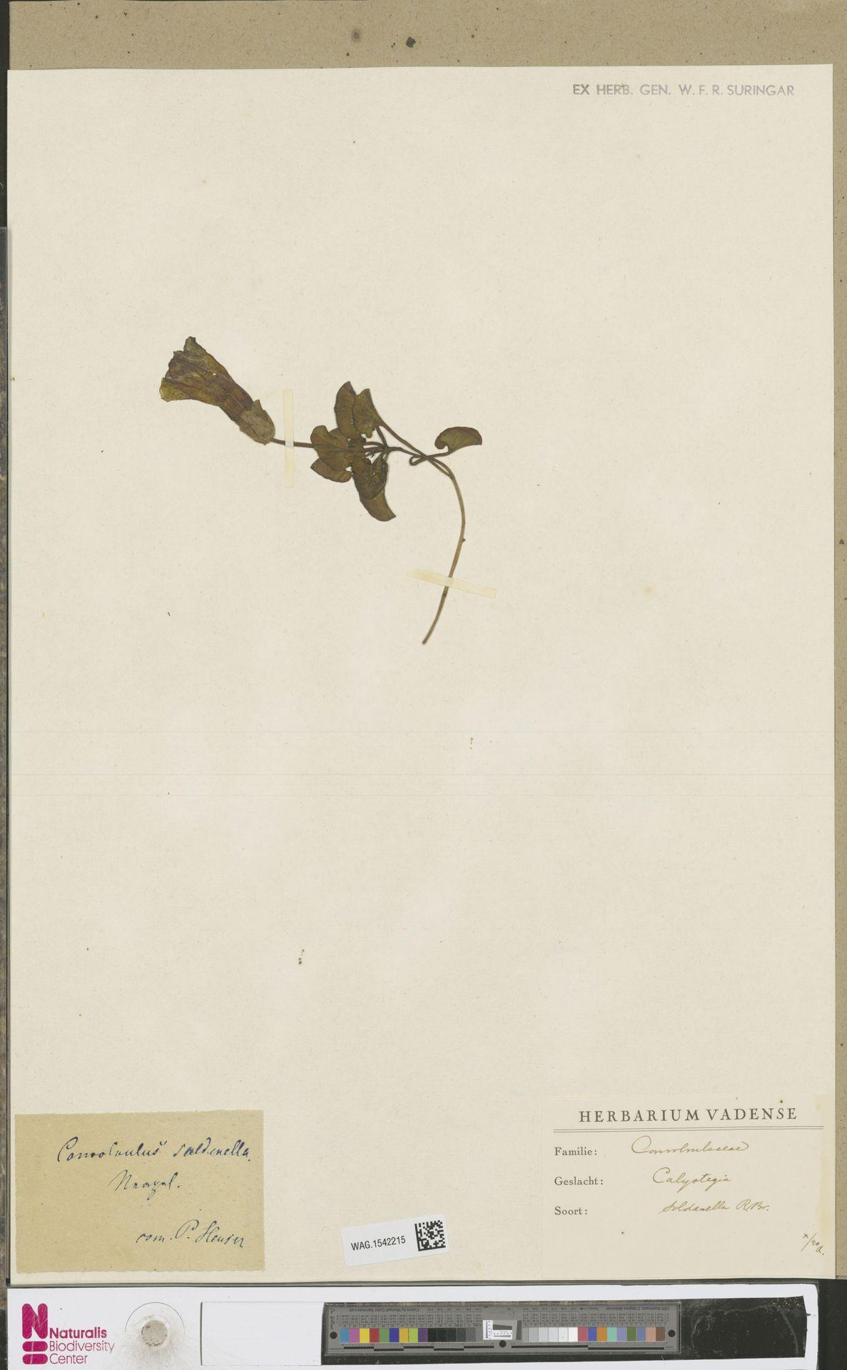 WAG.1542215 | Calystegia soldanella (L.) R.Br.