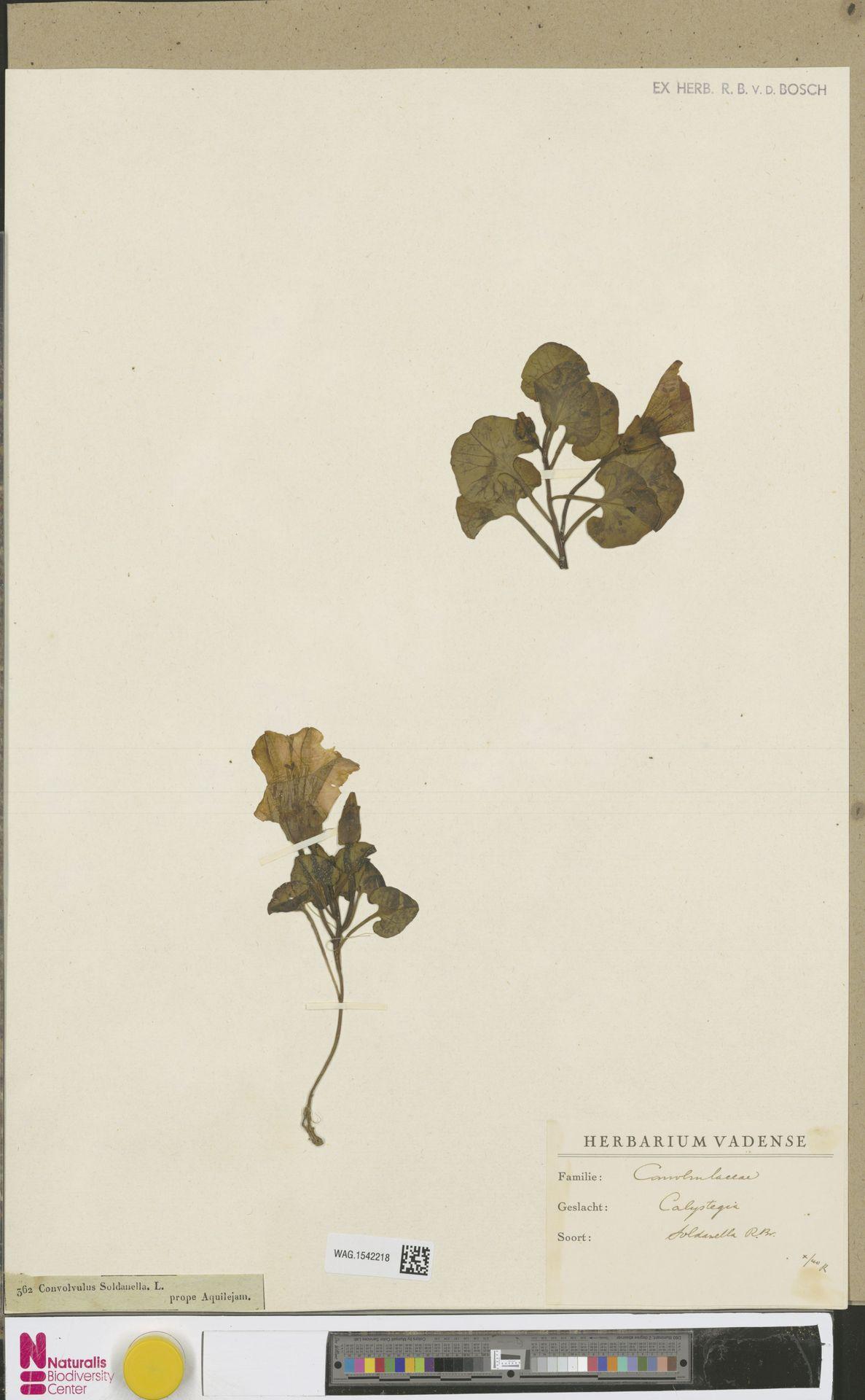 WAG.1542218   Calystegia soldanella (L.) R.Br.