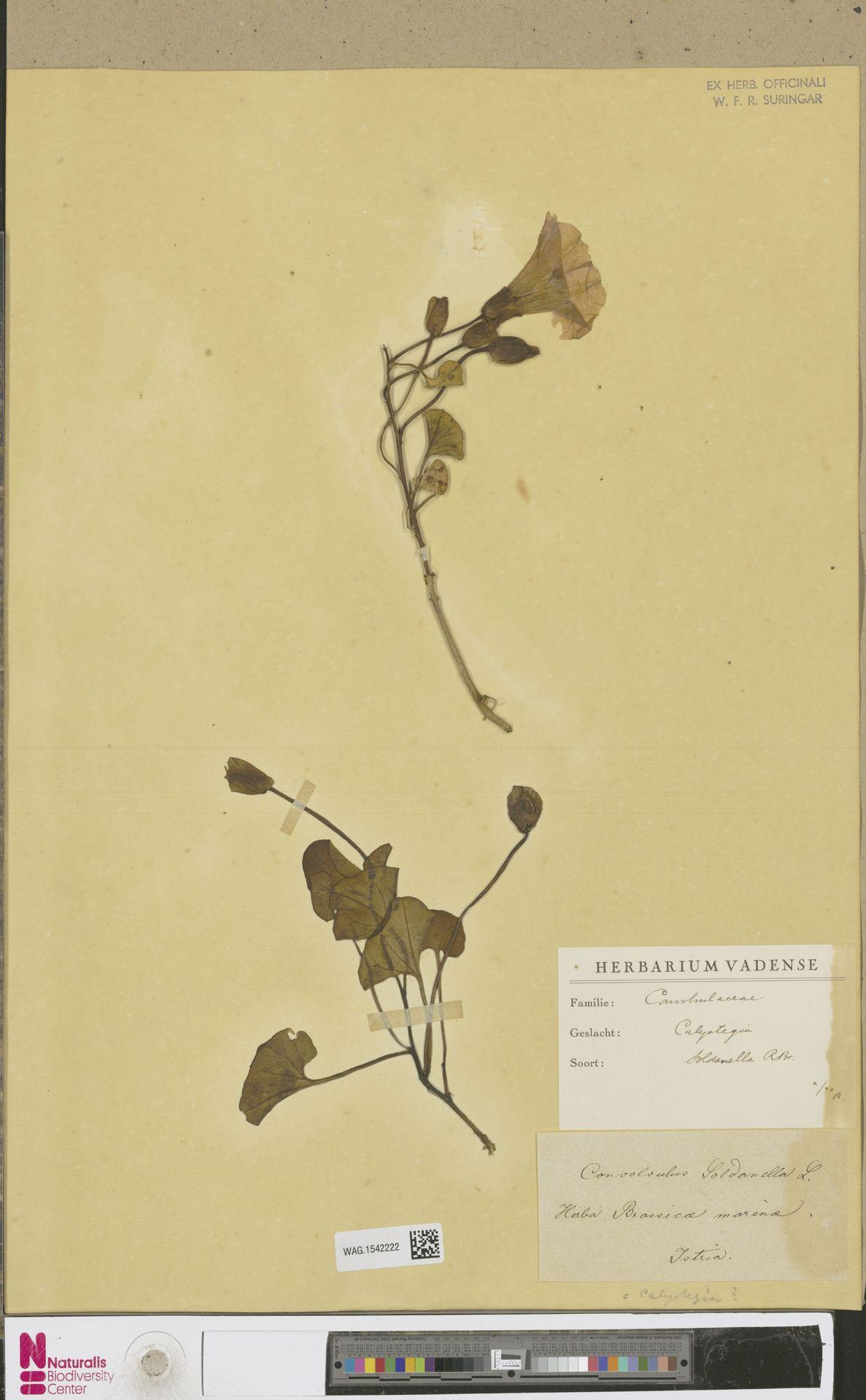 WAG.1542222 | Calystegia soldanella (L.) R.Br.
