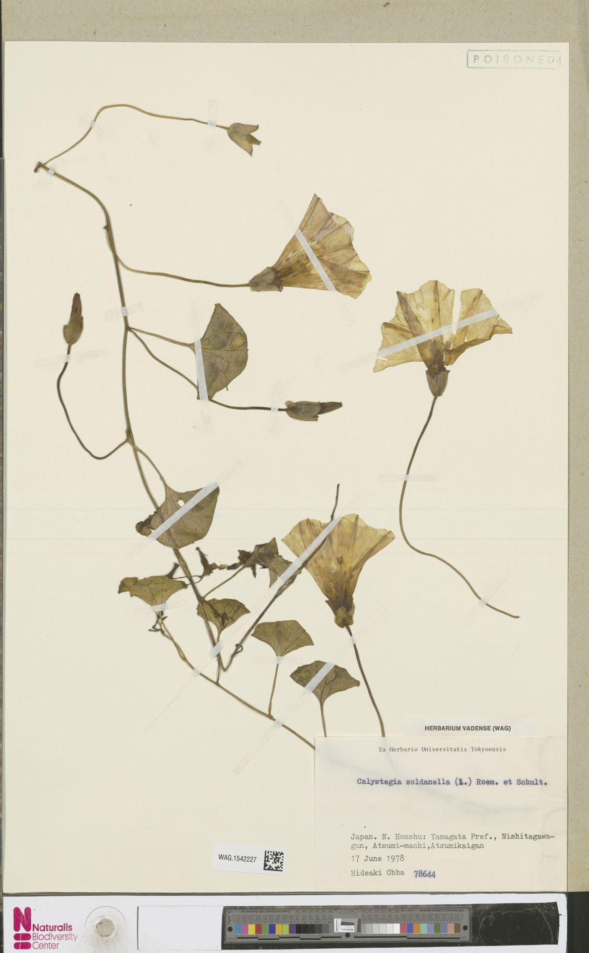 WAG.1542227 | Calystegia soldanella (L.) R.Br.