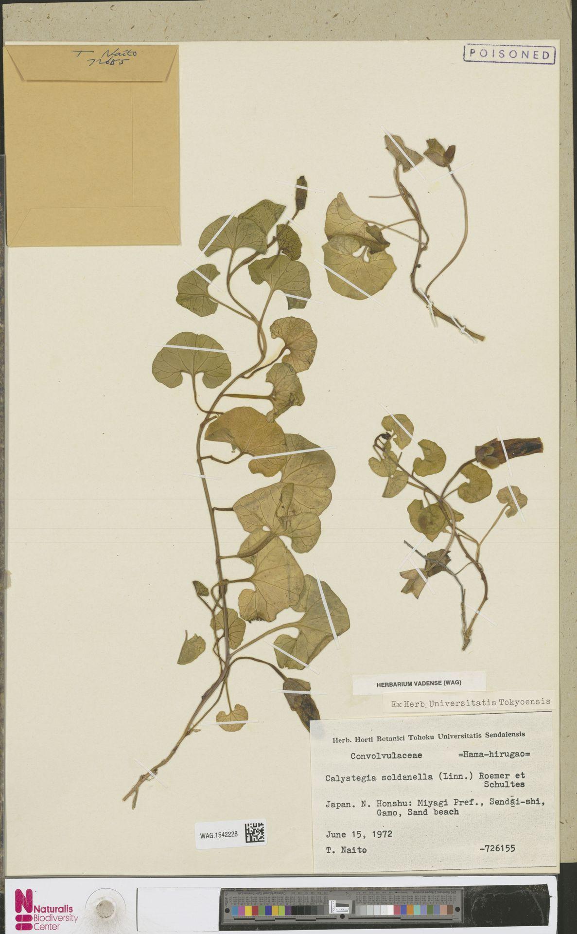 WAG.1542228 | Calystegia soldanella (L.) R.Br.