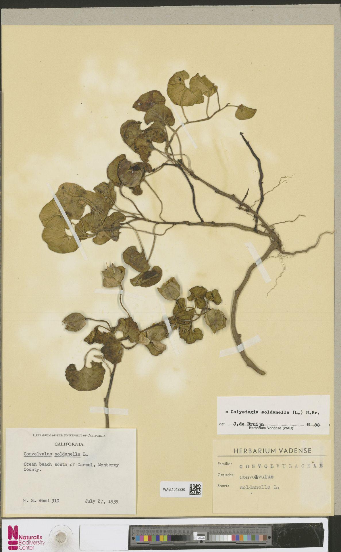 WAG.1542230 | Calystegia soldanella (L.) R.Br.
