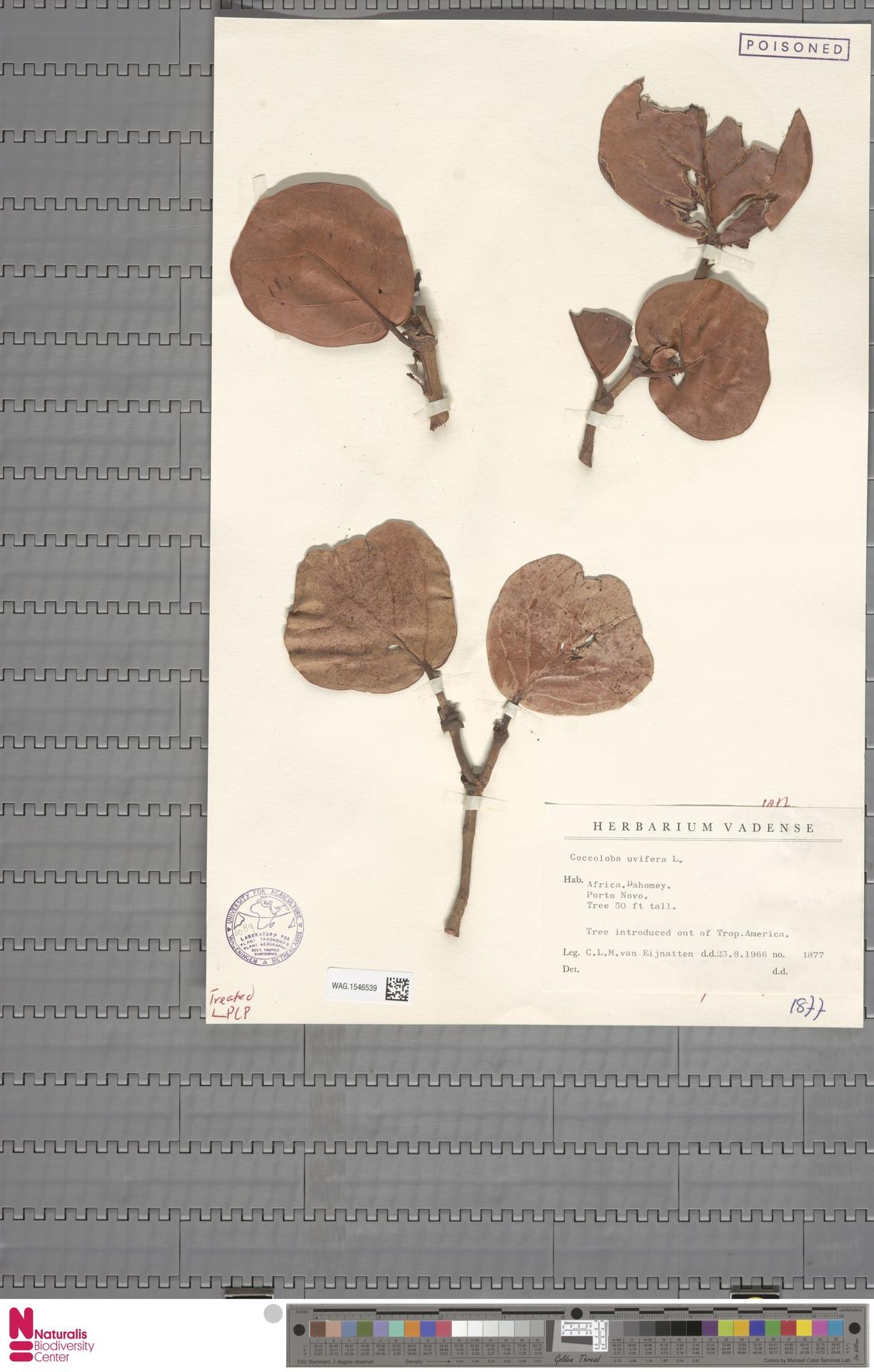 WAG.1546539 | Coccoloba uvifera (L.) L.