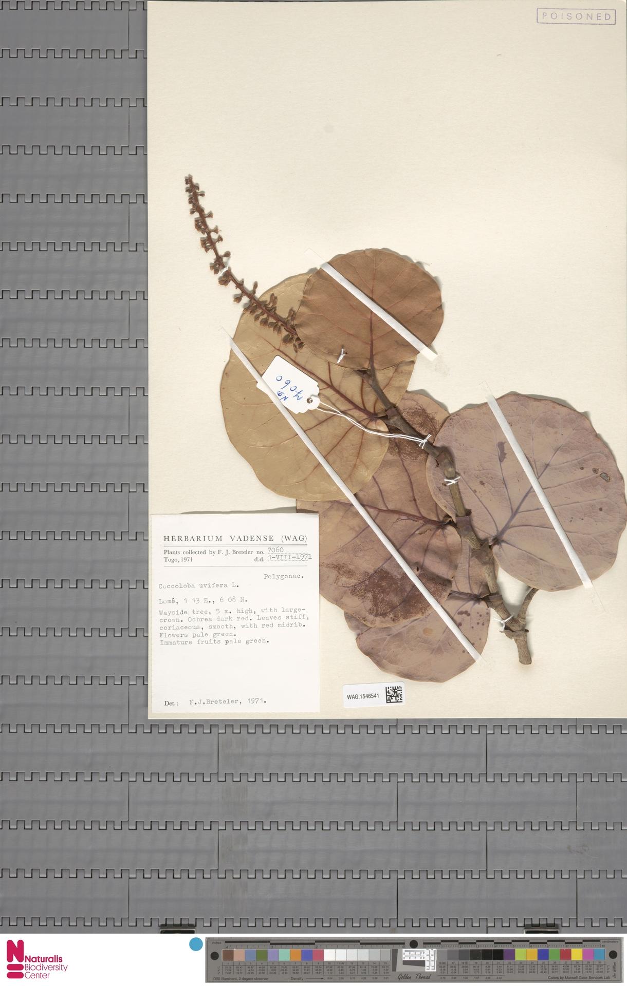 WAG.1546541 | Coccoloba uvifera (L.) L.