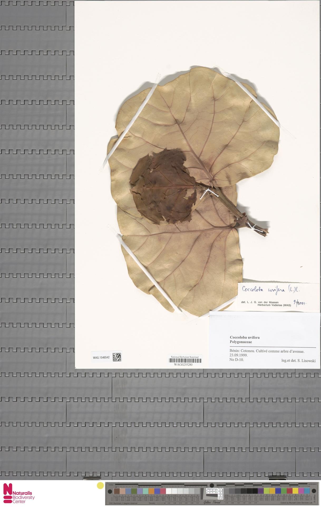 WAG.1546542 | Coccoloba uvifera (L.) L.