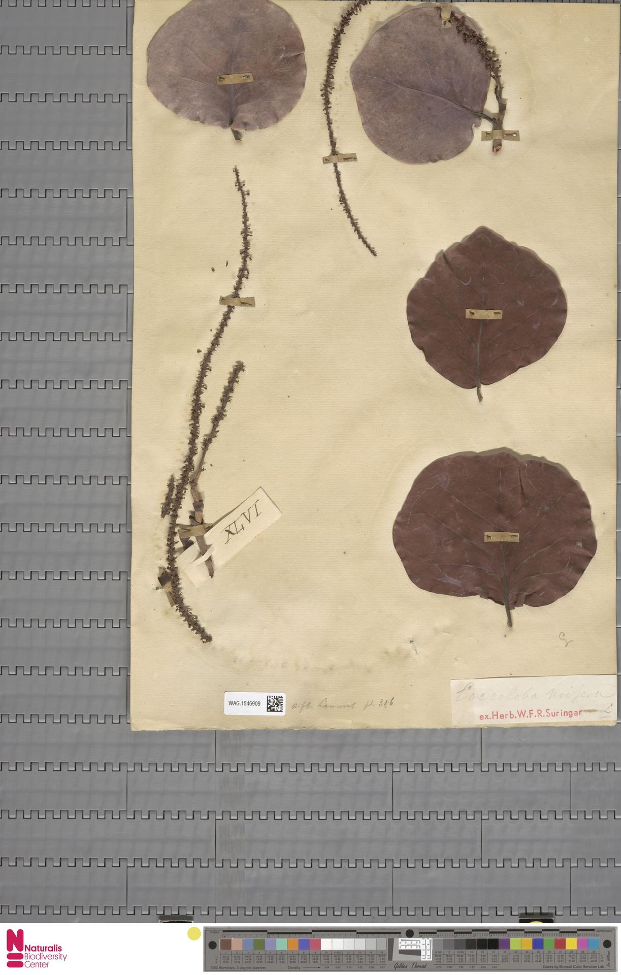 WAG.1546909   Coccoloba uvifera (L.) L.