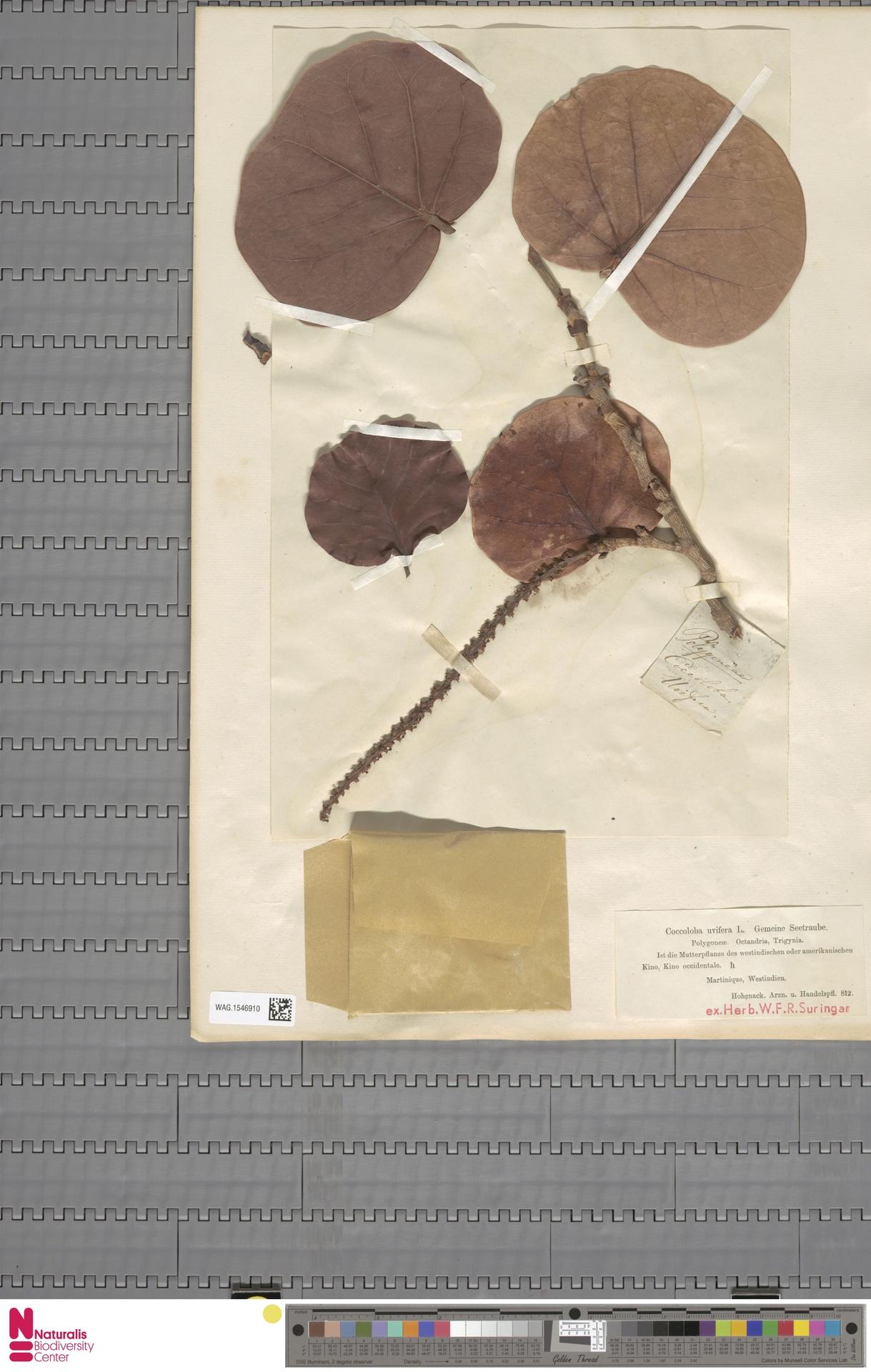 WAG.1546910 | Coccoloba uvifera (L.) L.