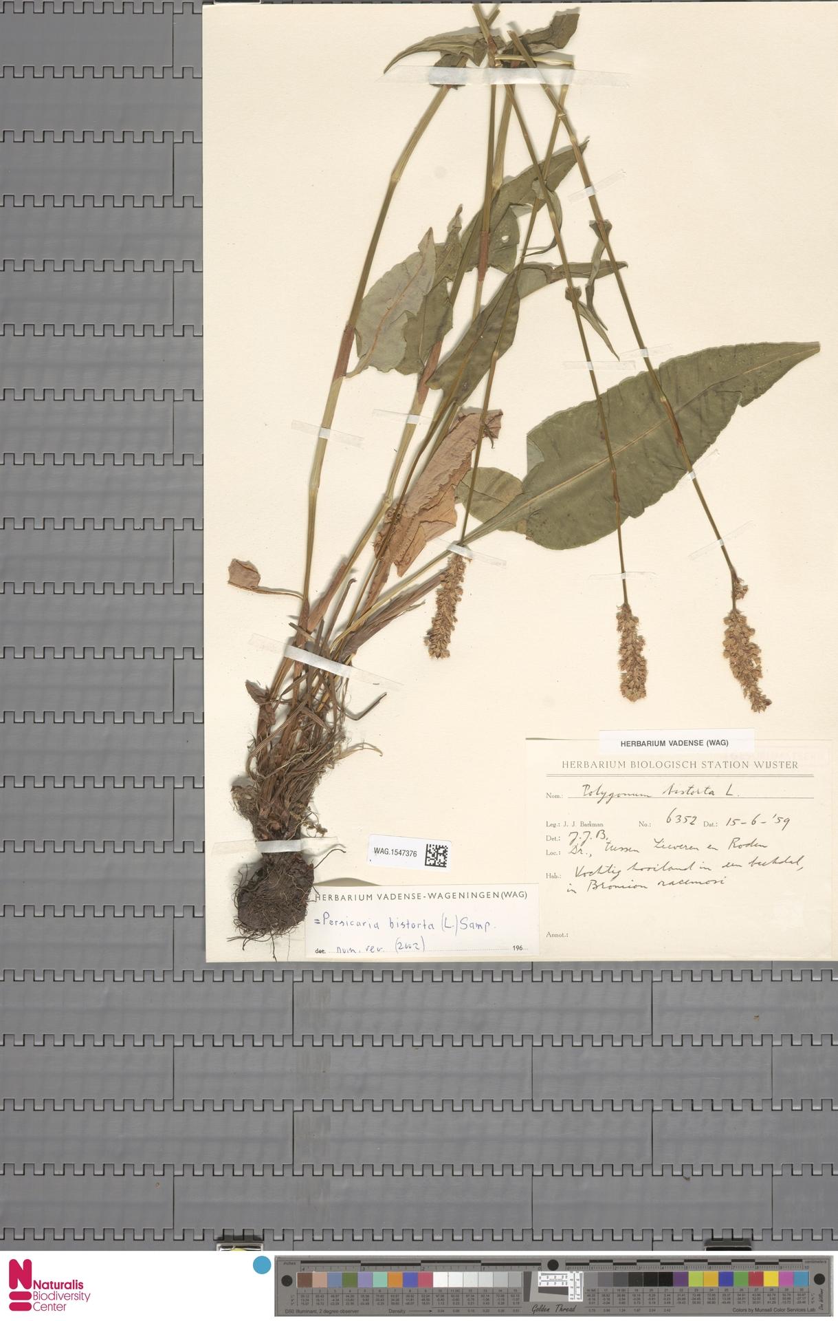 WAG.1547376 | Persicaria bistorta (L.) Samp.