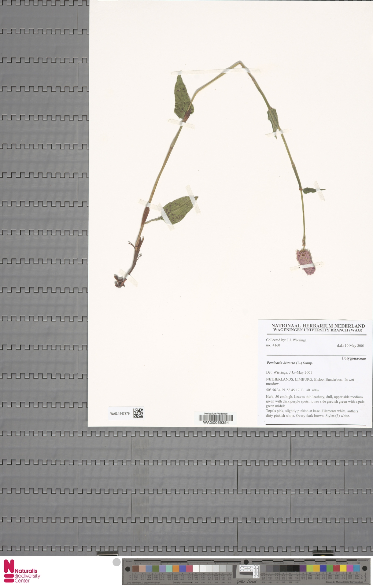 WAG.1547379 | Persicaria bistorta (L.) Samp.