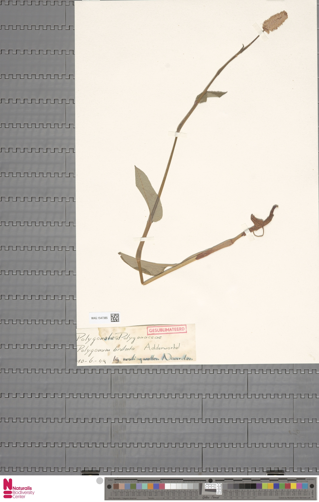 WAG.1547385 | Persicaria bistorta (L.) Samp.