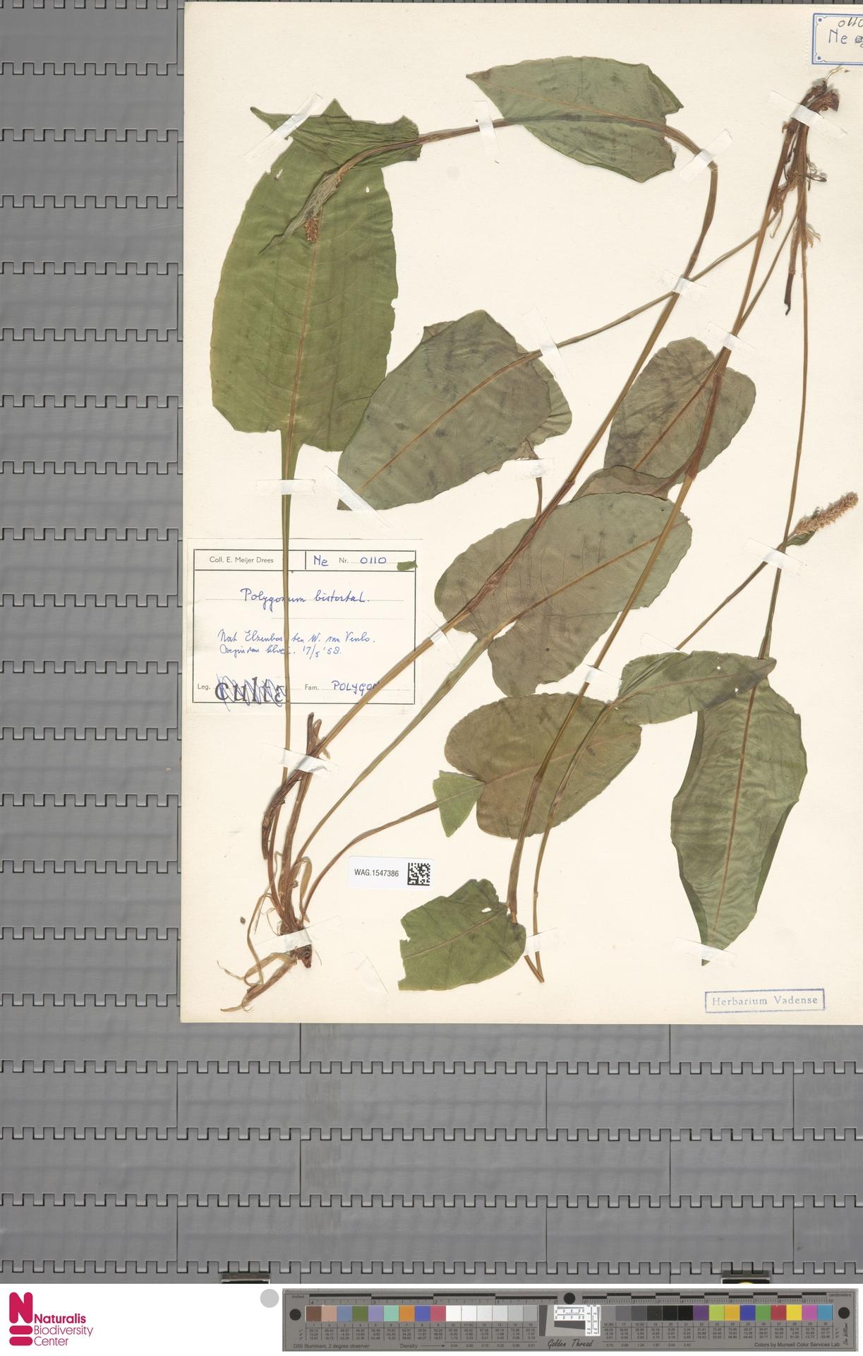 WAG.1547386 | Persicaria bistorta (L.) Samp.