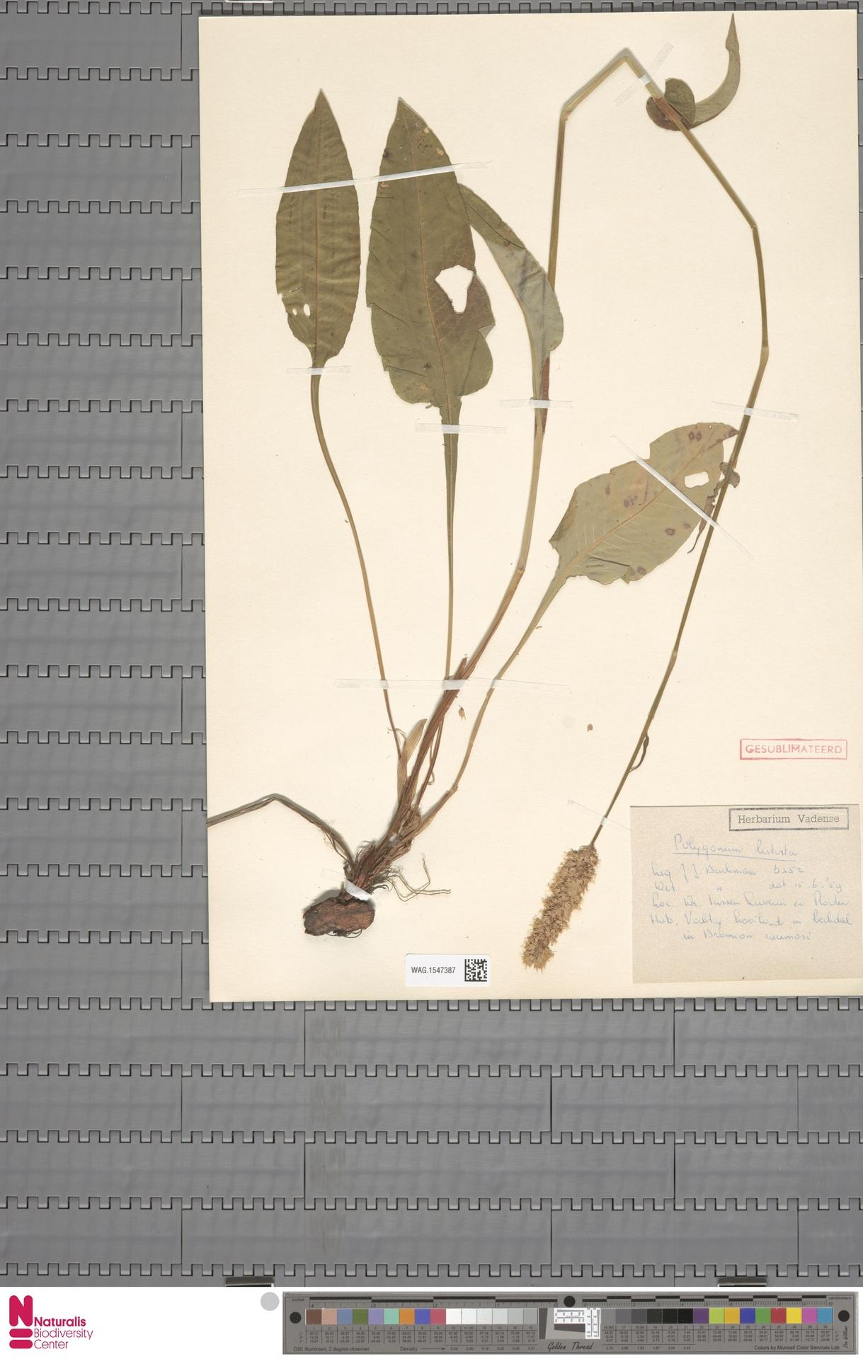 WAG.1547387 | Persicaria bistorta (L.) Samp.