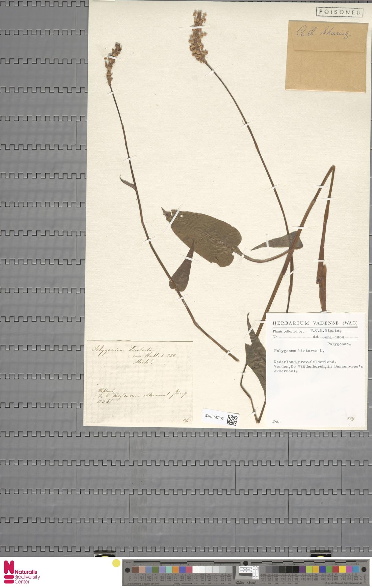 WAG.1547392 | Persicaria bistorta (L.) Samp.