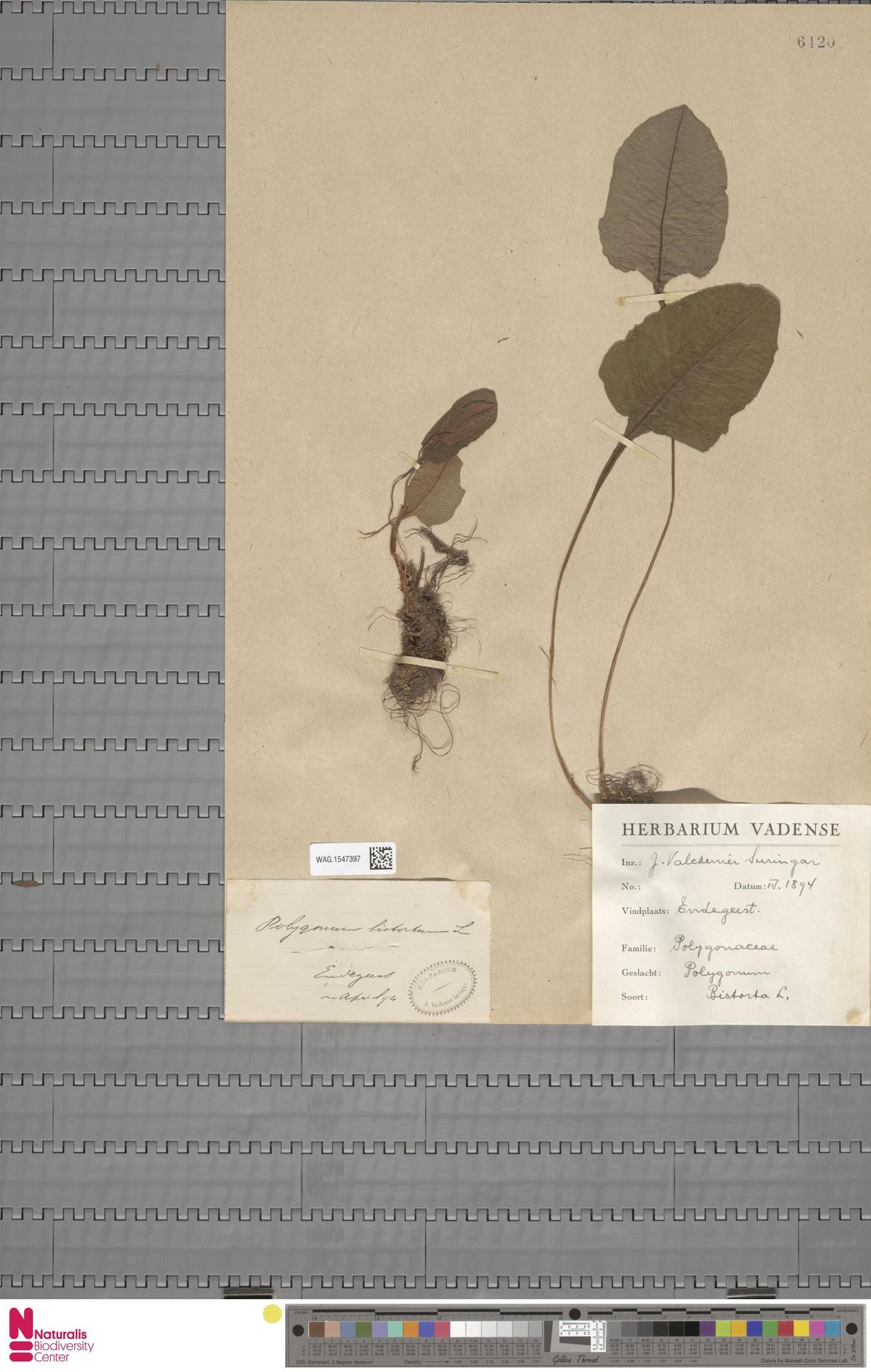WAG.1547397 | Persicaria bistorta (L.) Samp.