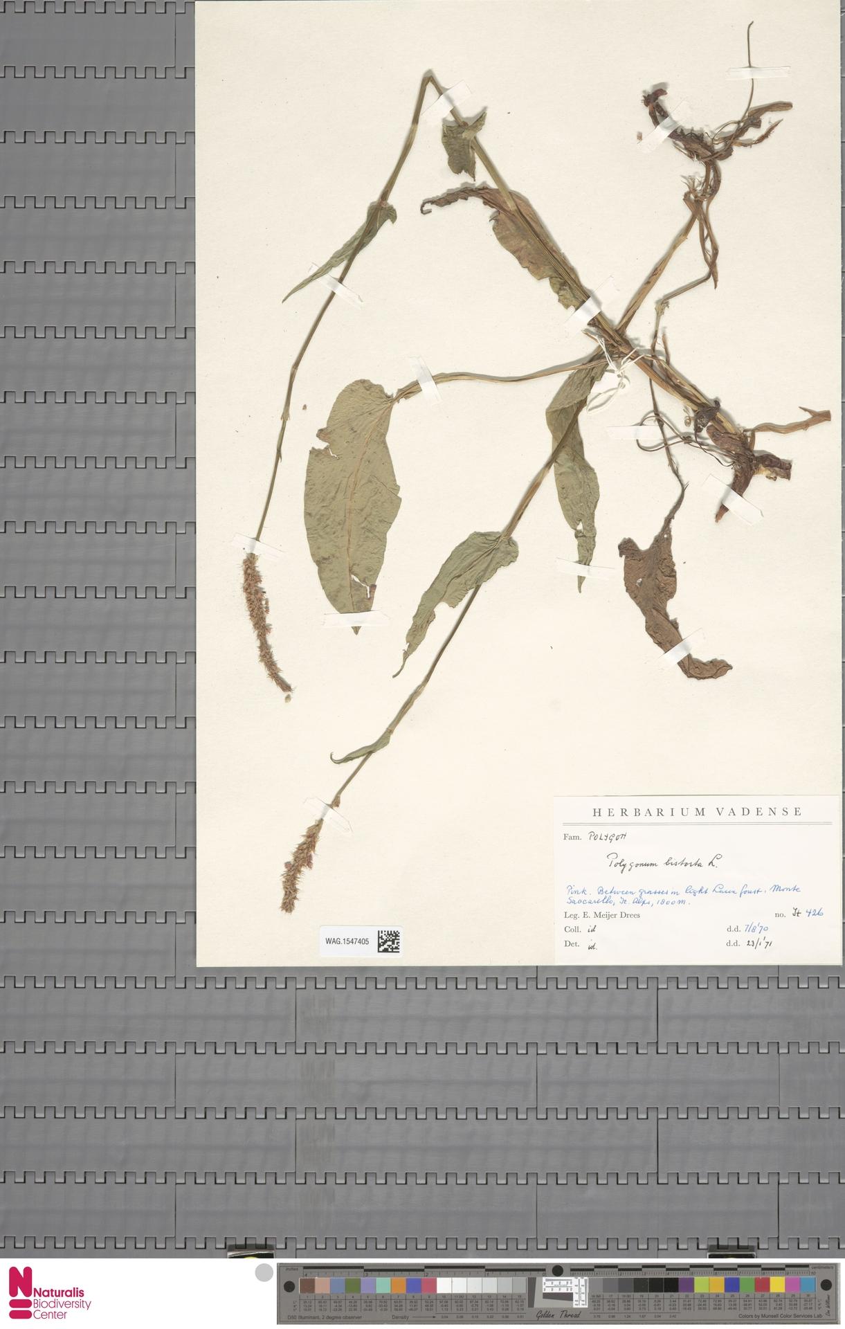 WAG.1547405 | Persicaria bistorta (L.) Samp.