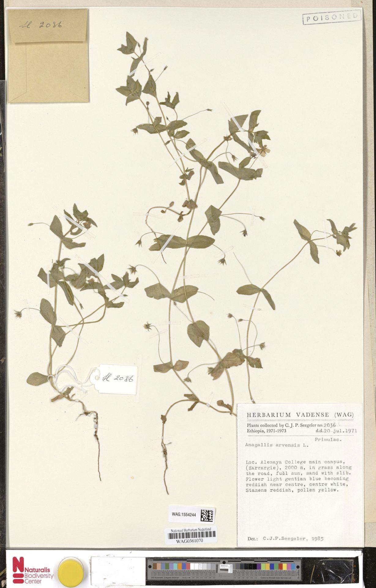 WAG.1554244 | Anagallis arvensis L.