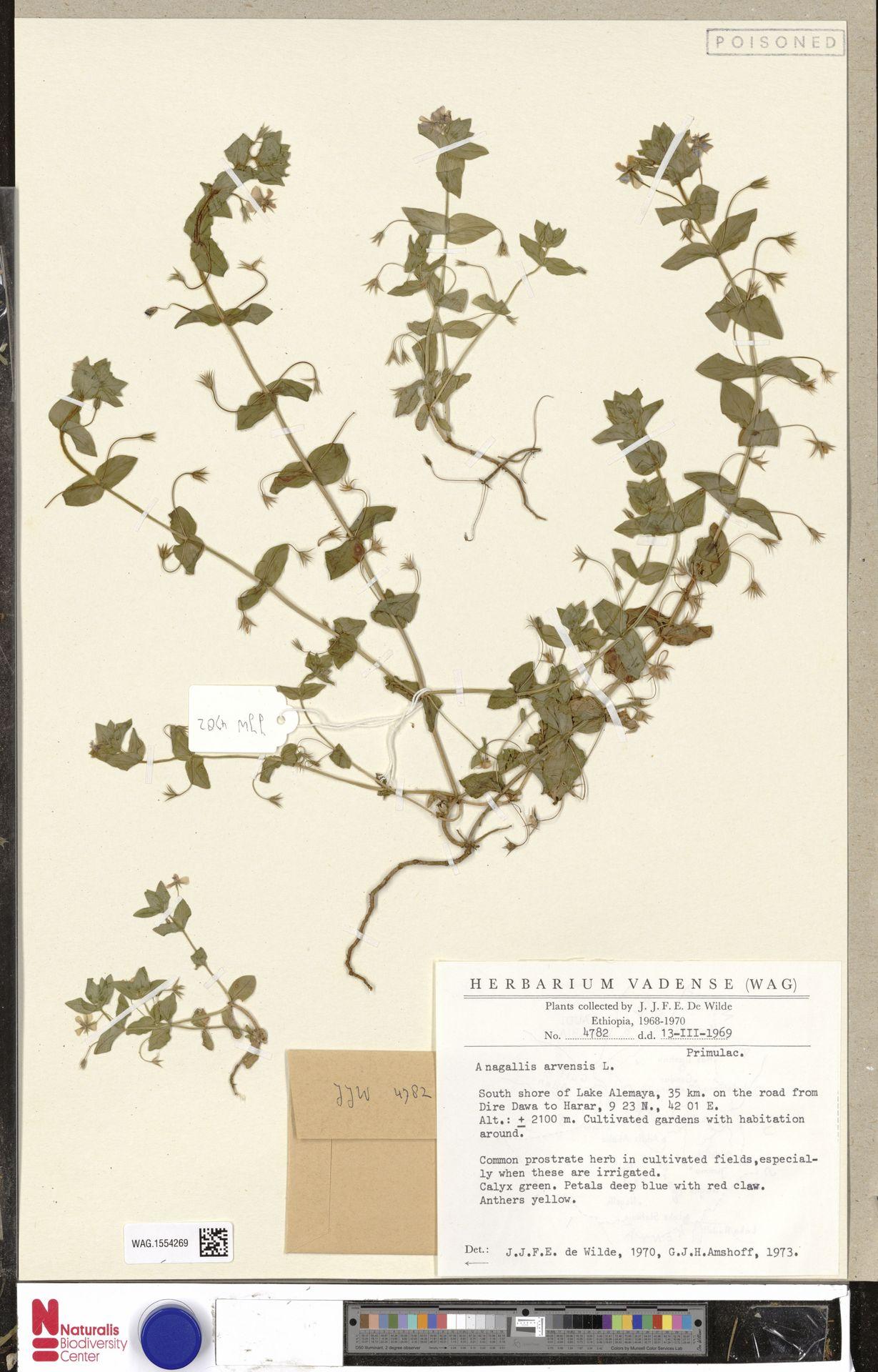 WAG.1554269 | Anagallis arvensis L.