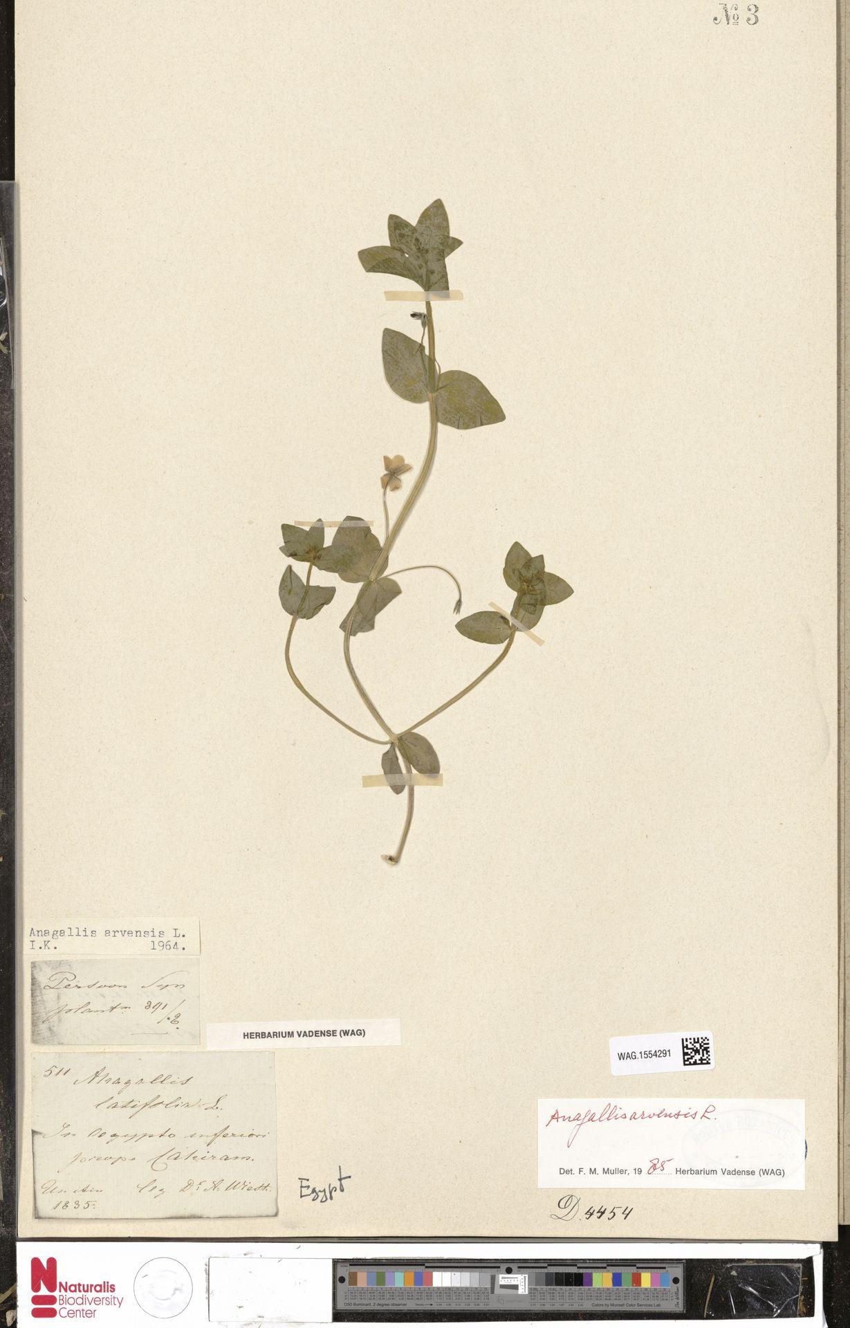 WAG.1554291 | Anagallis arvensis L.