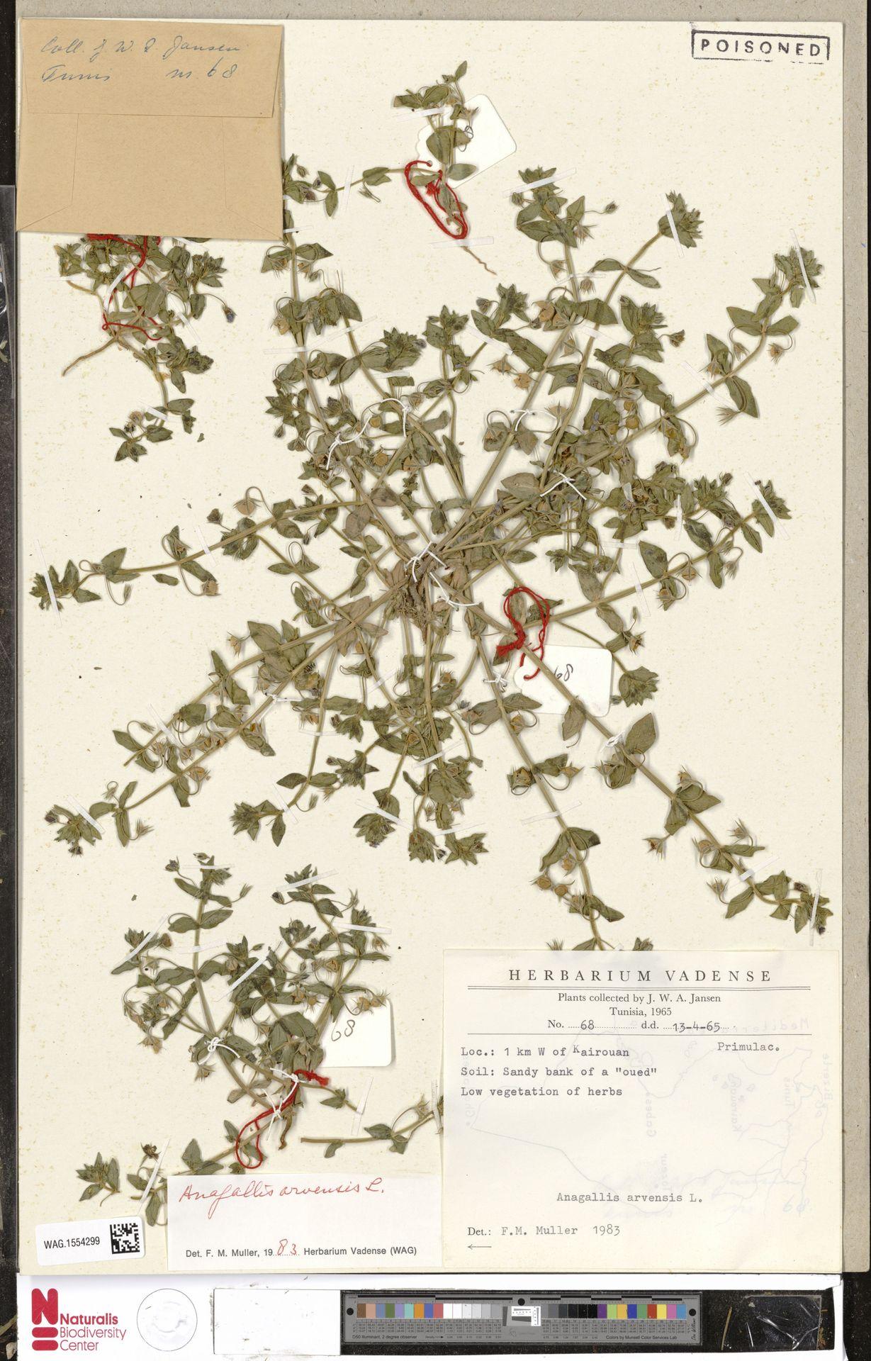 WAG.1554299 | Anagallis arvensis L.