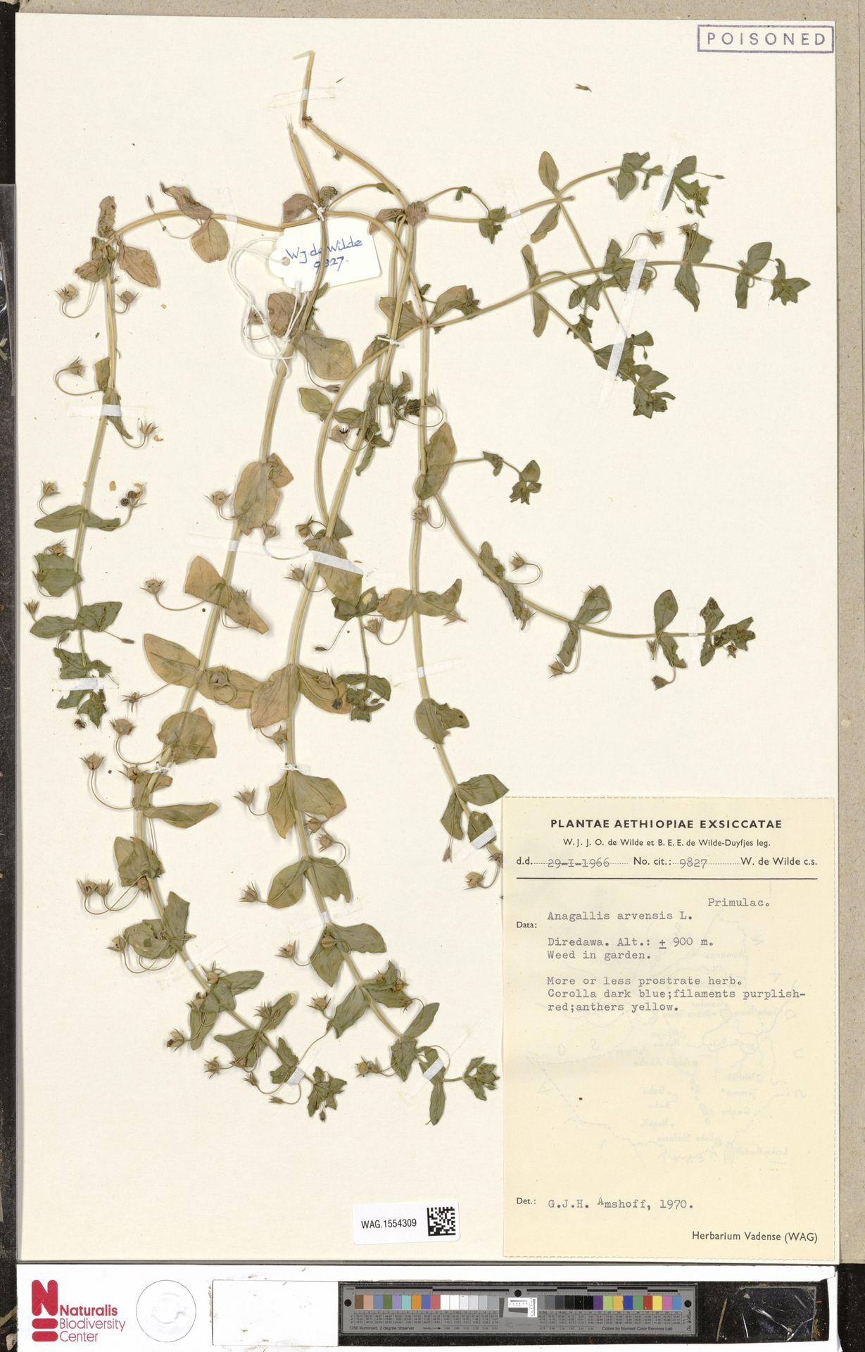 WAG.1554309 | Anagallis arvensis L.