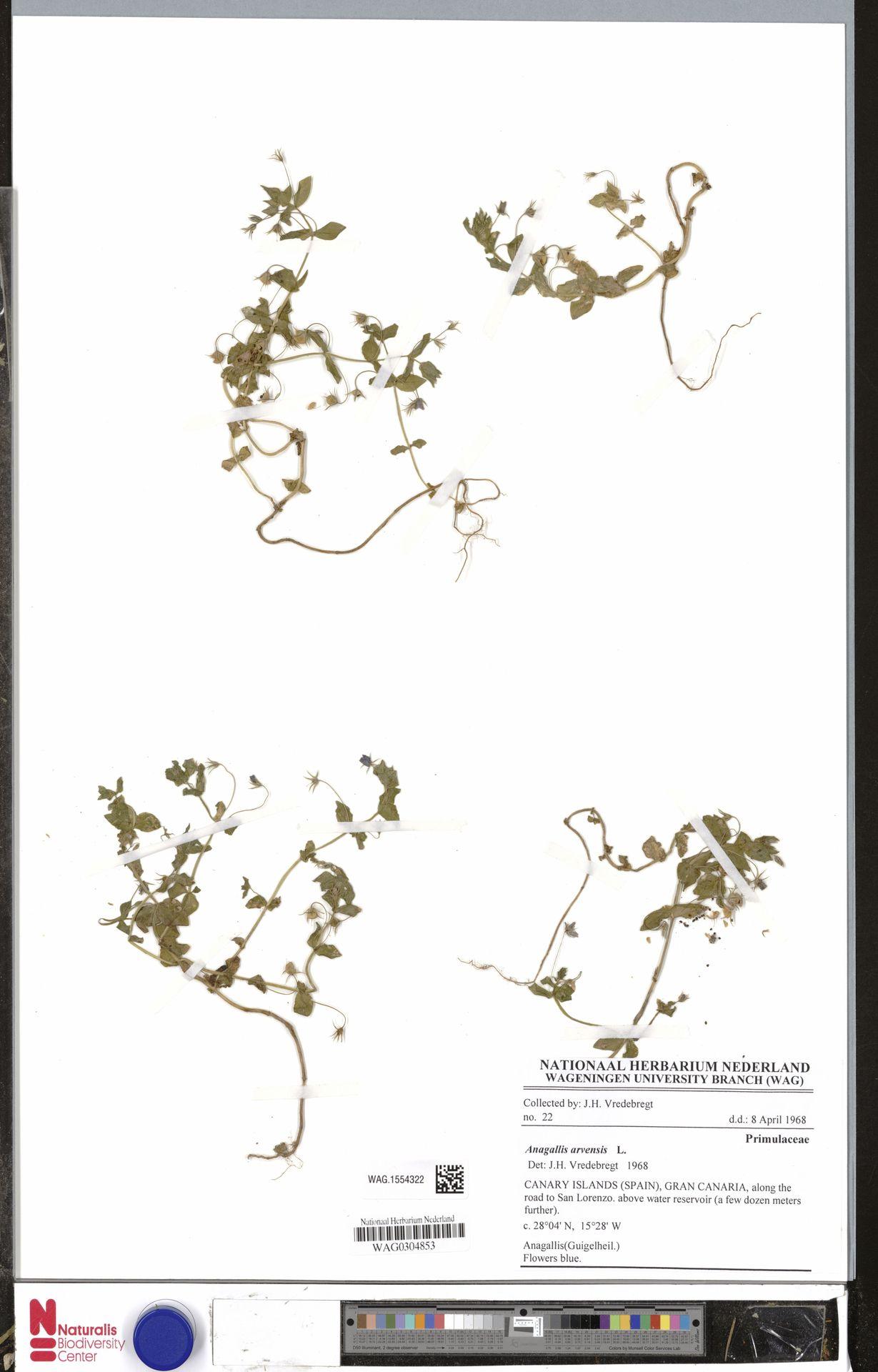 WAG.1554322 | Anagallis arvensis L.
