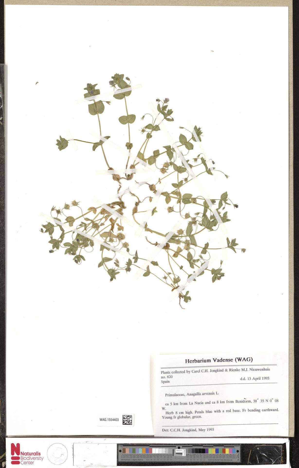 WAG.1554403 | Anagallis arvensis L.