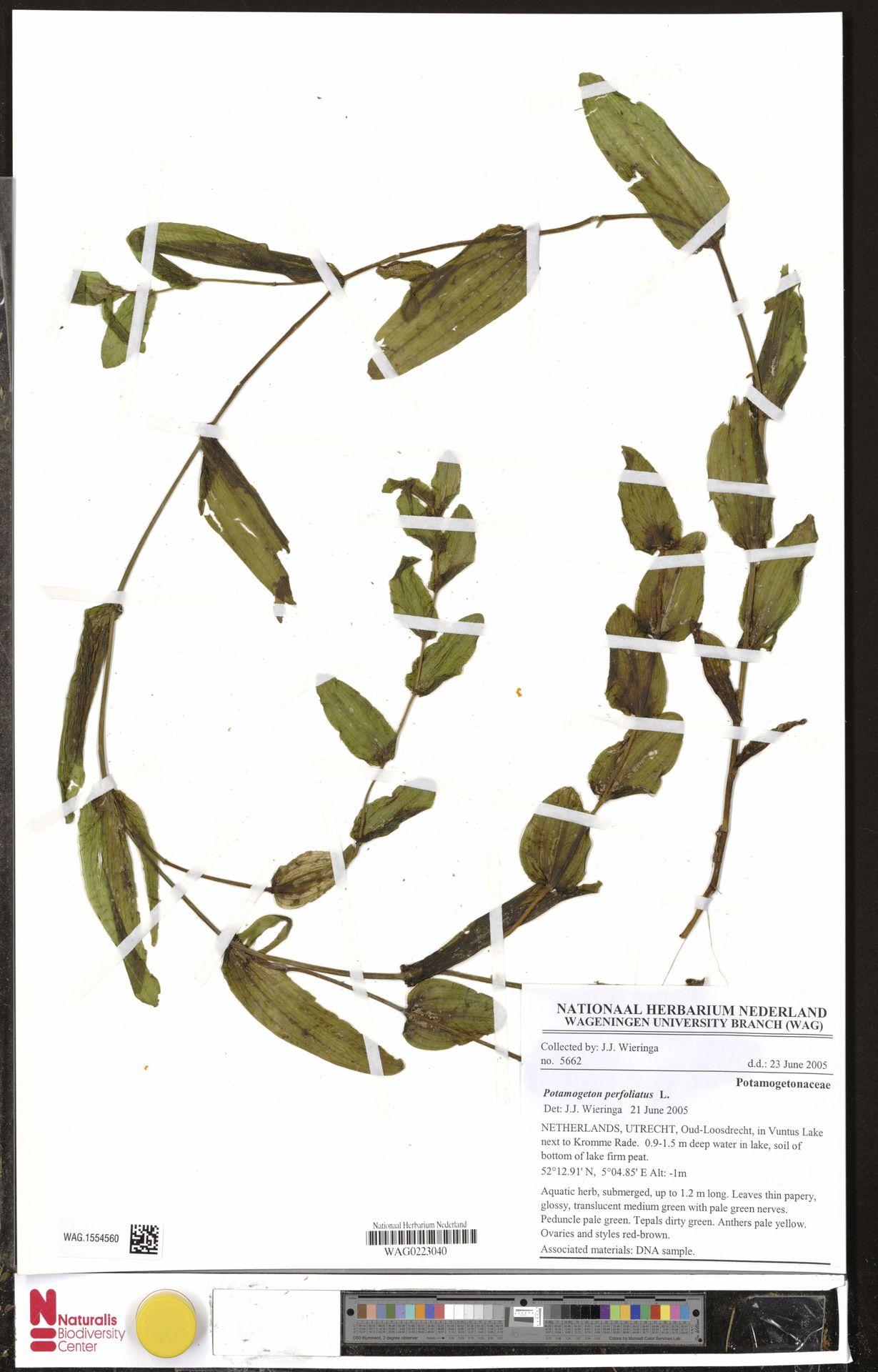 WAG.1554560 | Potamogeton perfoliatus L.