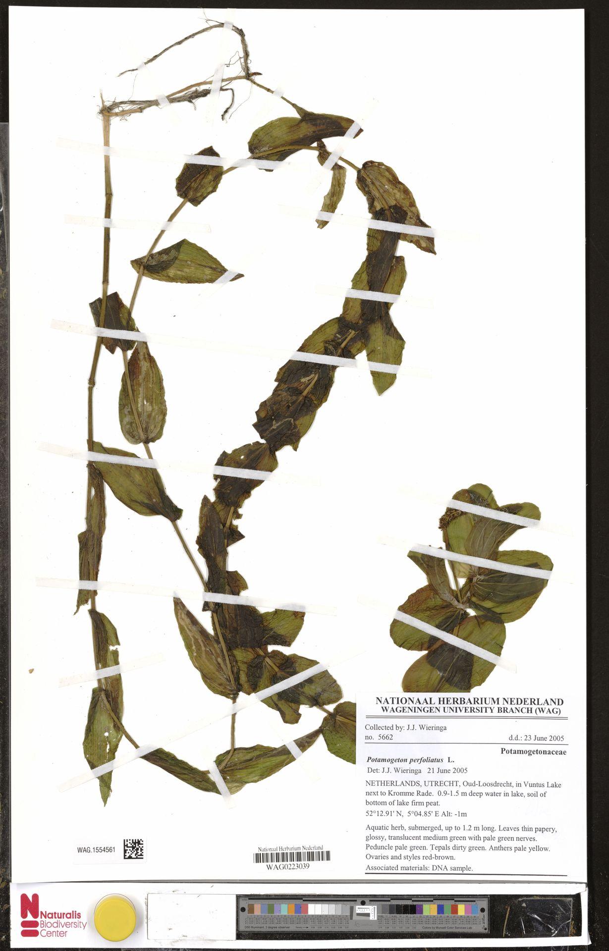 WAG.1554561   Potamogeton perfoliatus L.
