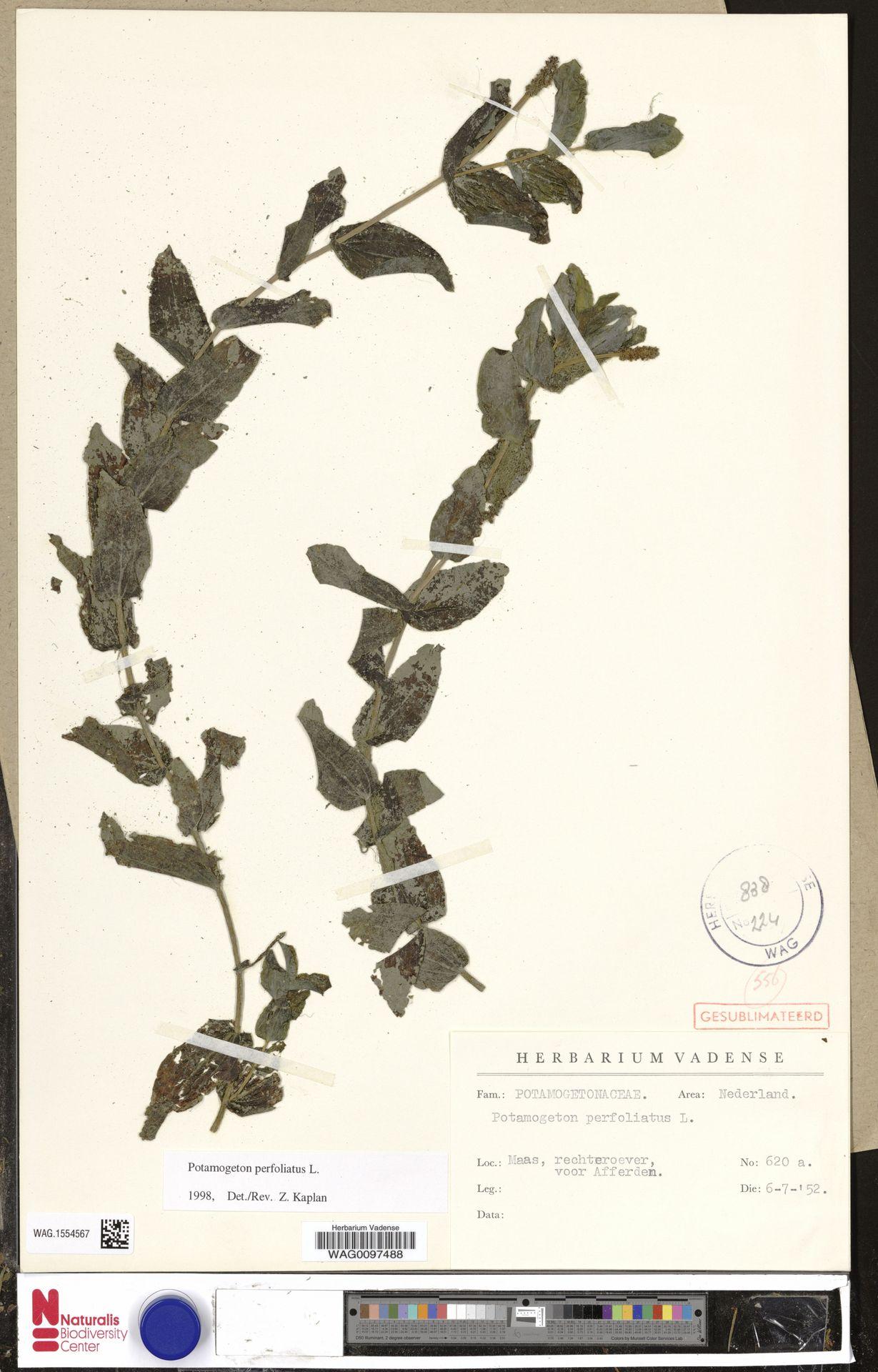 WAG.1554567 | Potamogeton perfoliatus L.