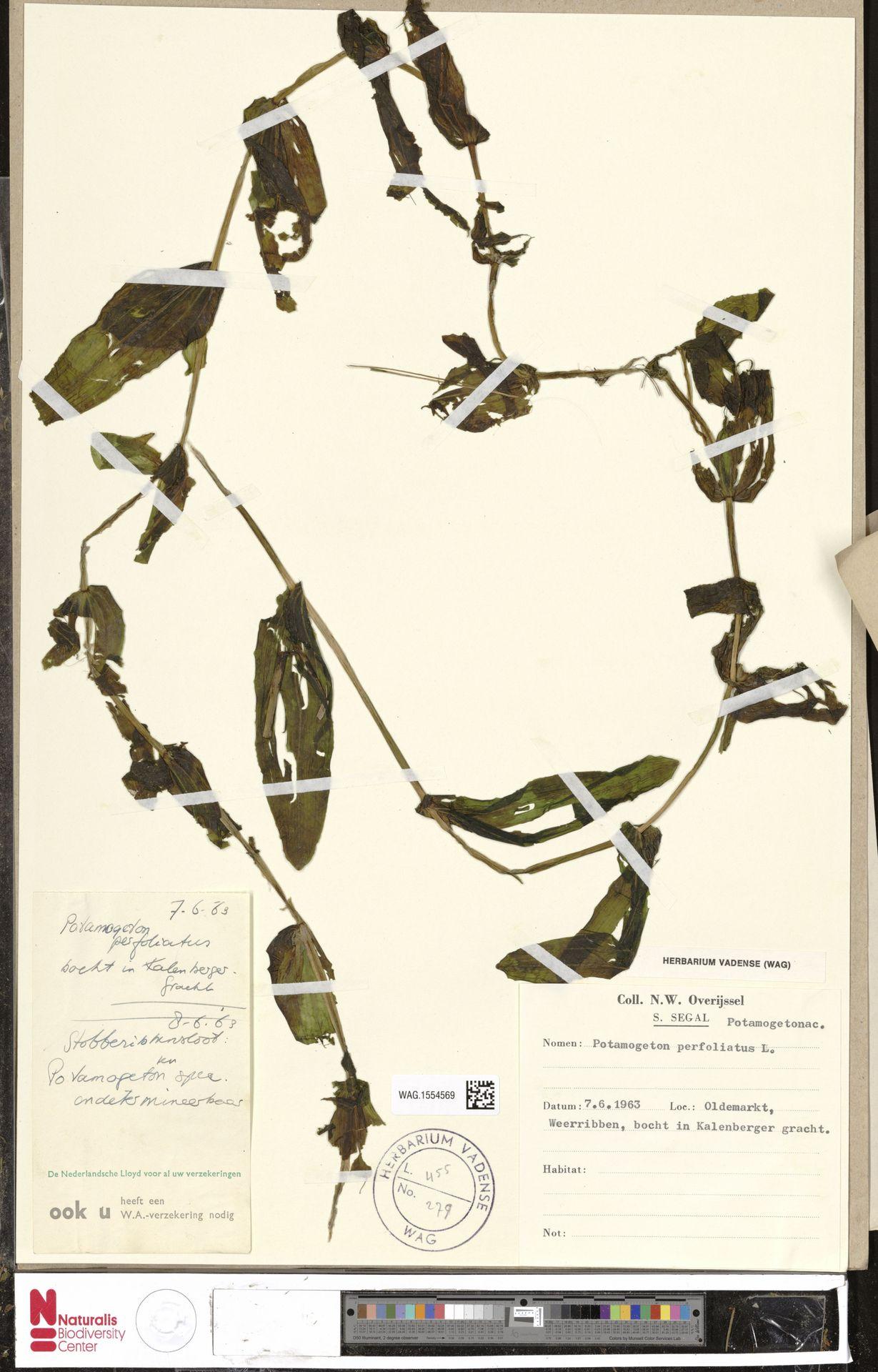 WAG.1554569   Potamogeton perfoliatus L.