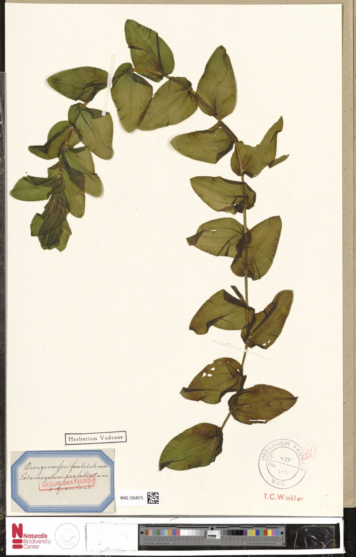 WAG.1554573 | Potamogeton perfoliatus L.