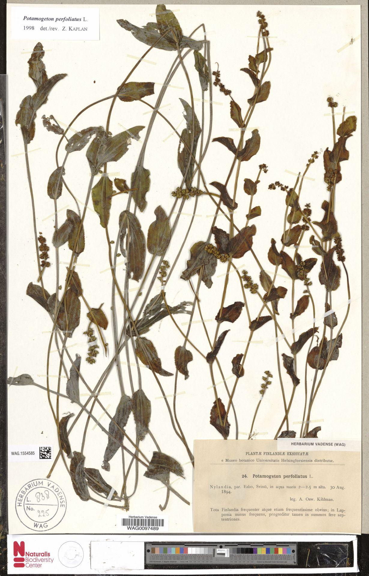 WAG.1554585 | Potamogeton perfoliatus L.