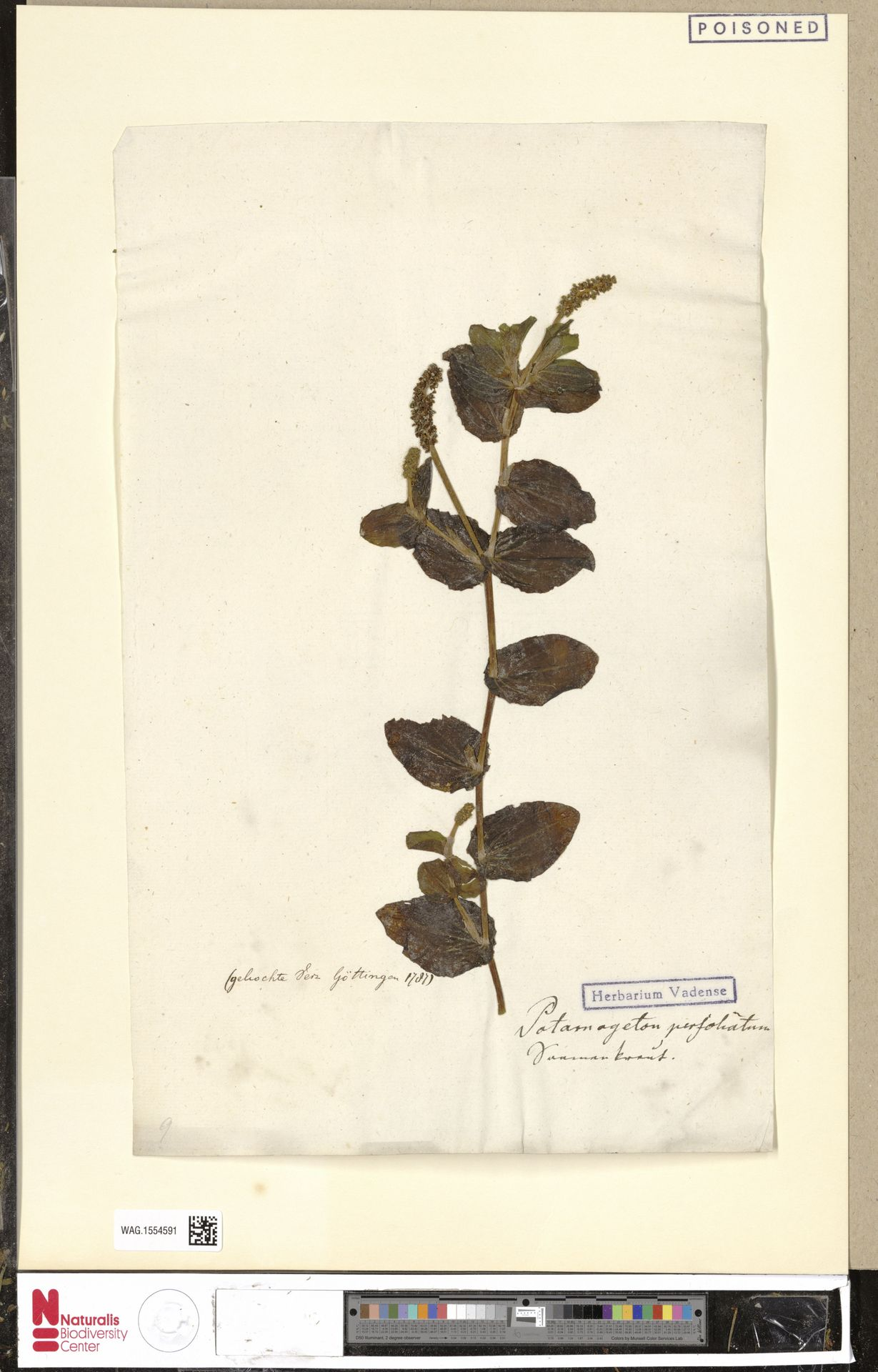 WAG.1554591   Potamogeton perfoliatus L.