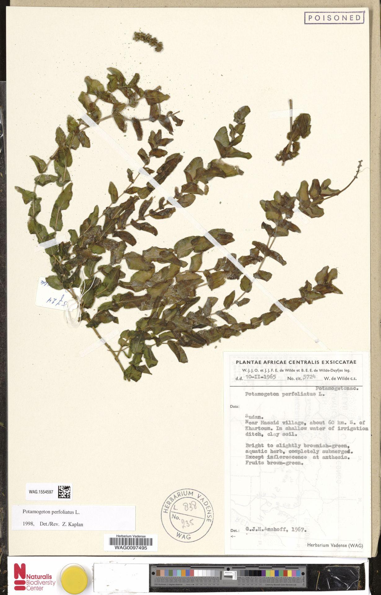 WAG.1554597 | Potamogeton perfoliatus L.
