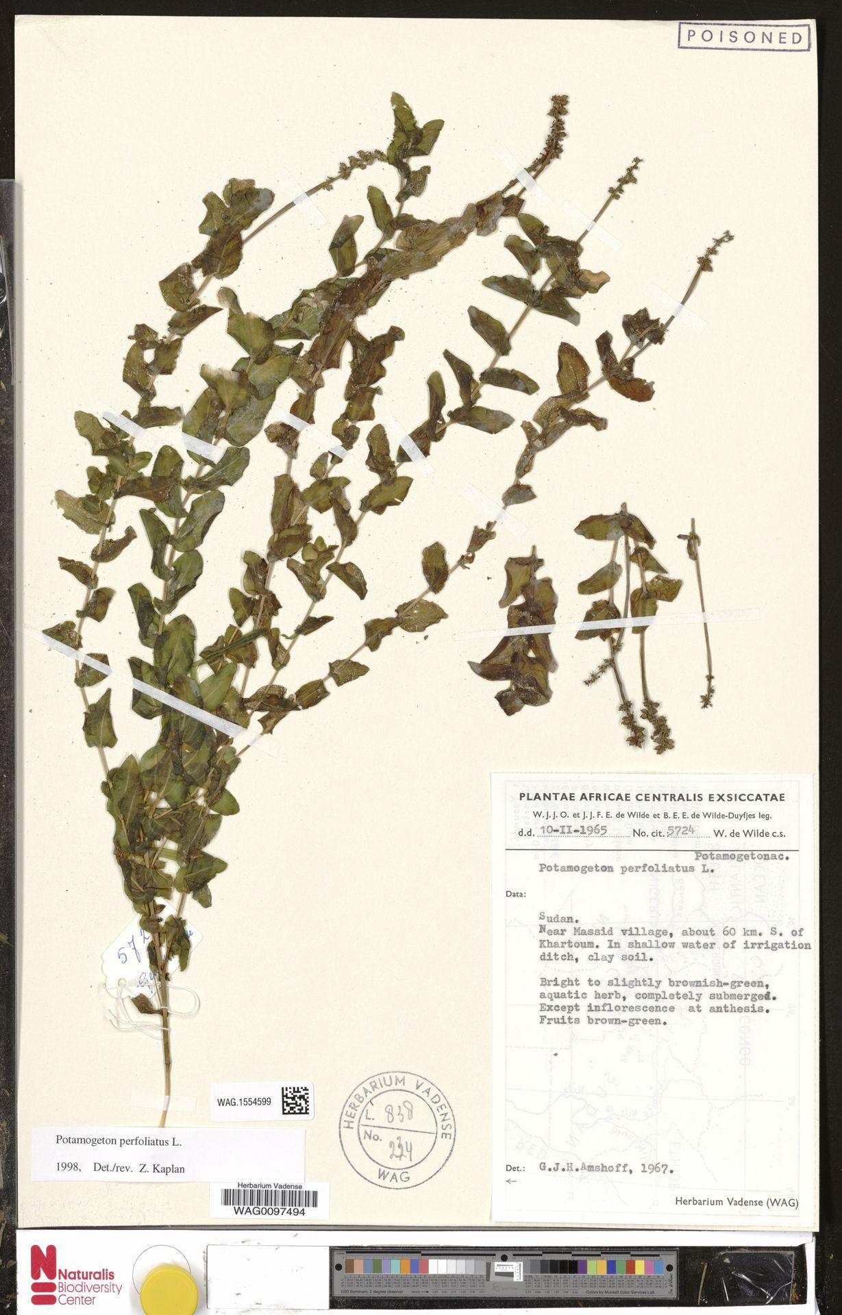 WAG.1554599 | Potamogeton perfoliatus L.