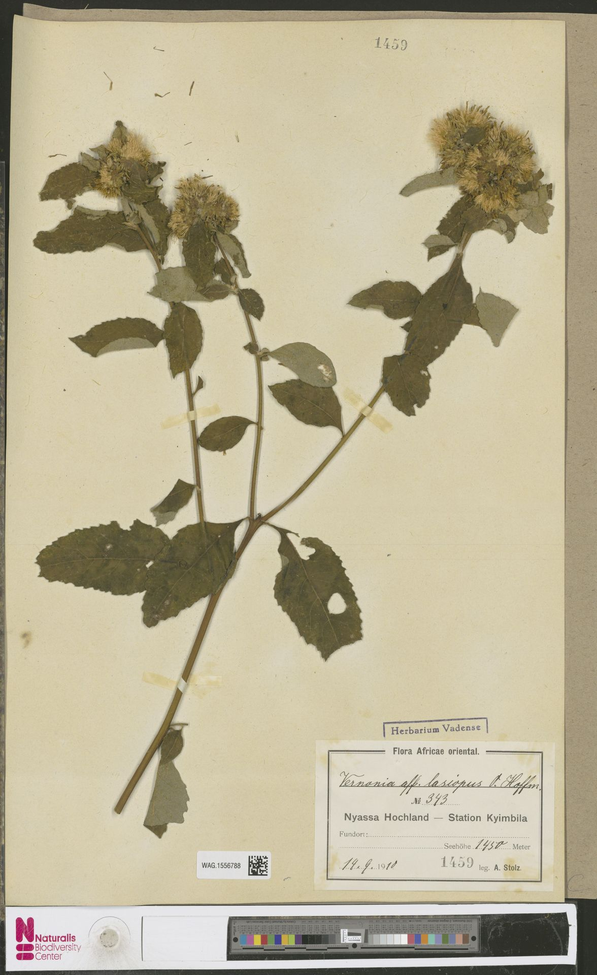 WAG.1556788 | Vernonia hymenolepis subsp. tolypophora (Mattf.) Wild