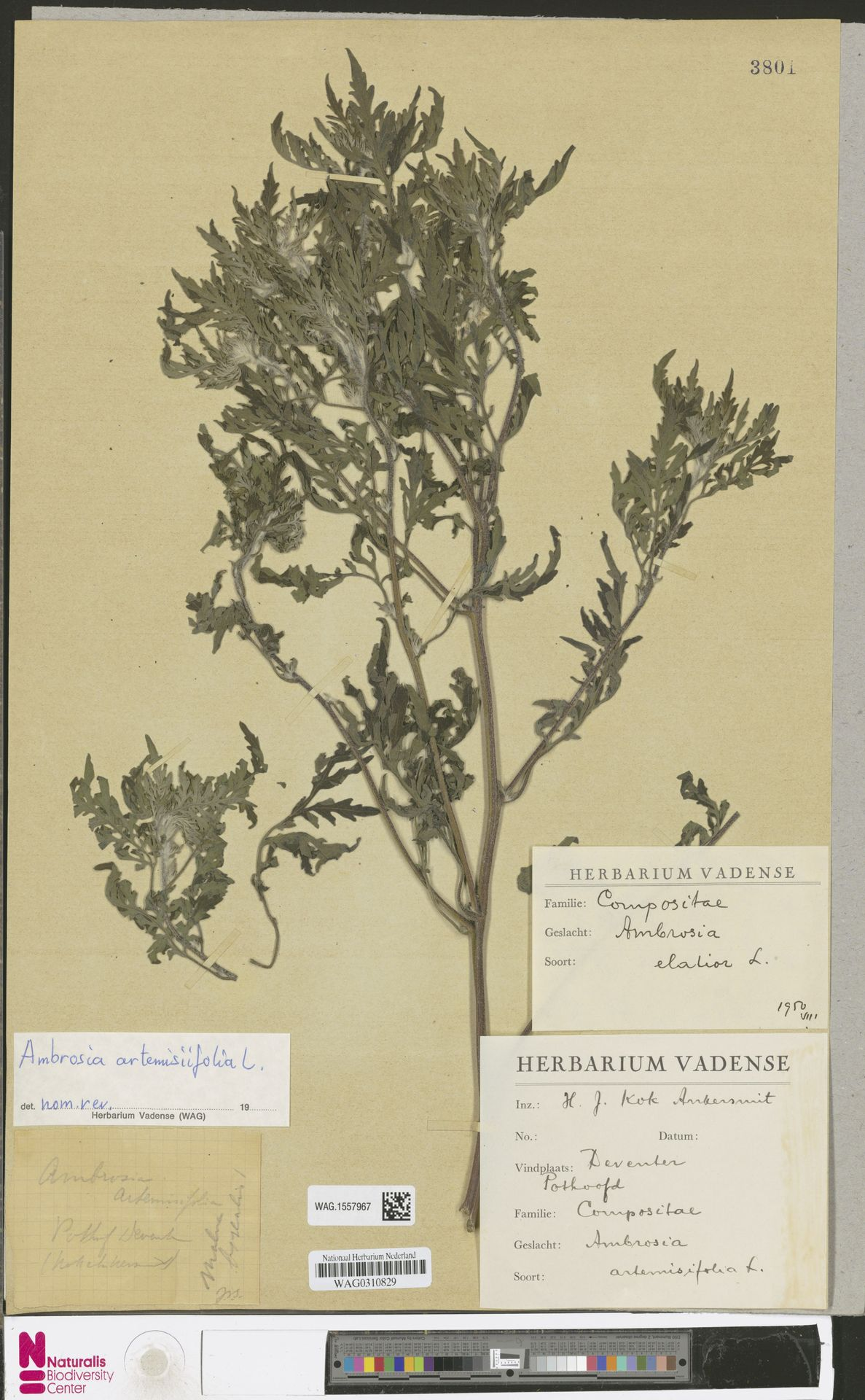 WAG.1557967 | Ambrosia artemisiifolia L.