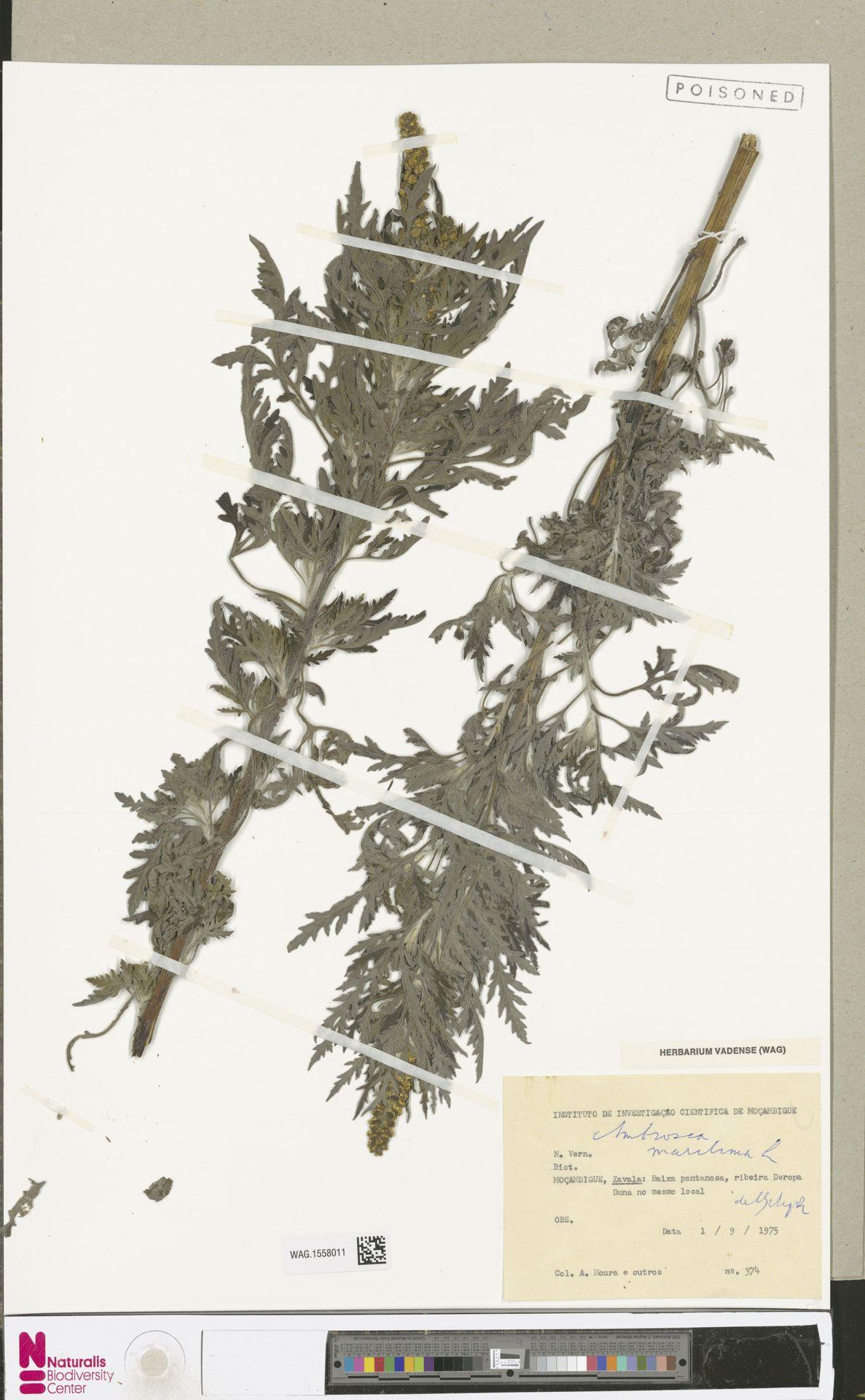 WAG.1558011   Ambrosia maritima L.