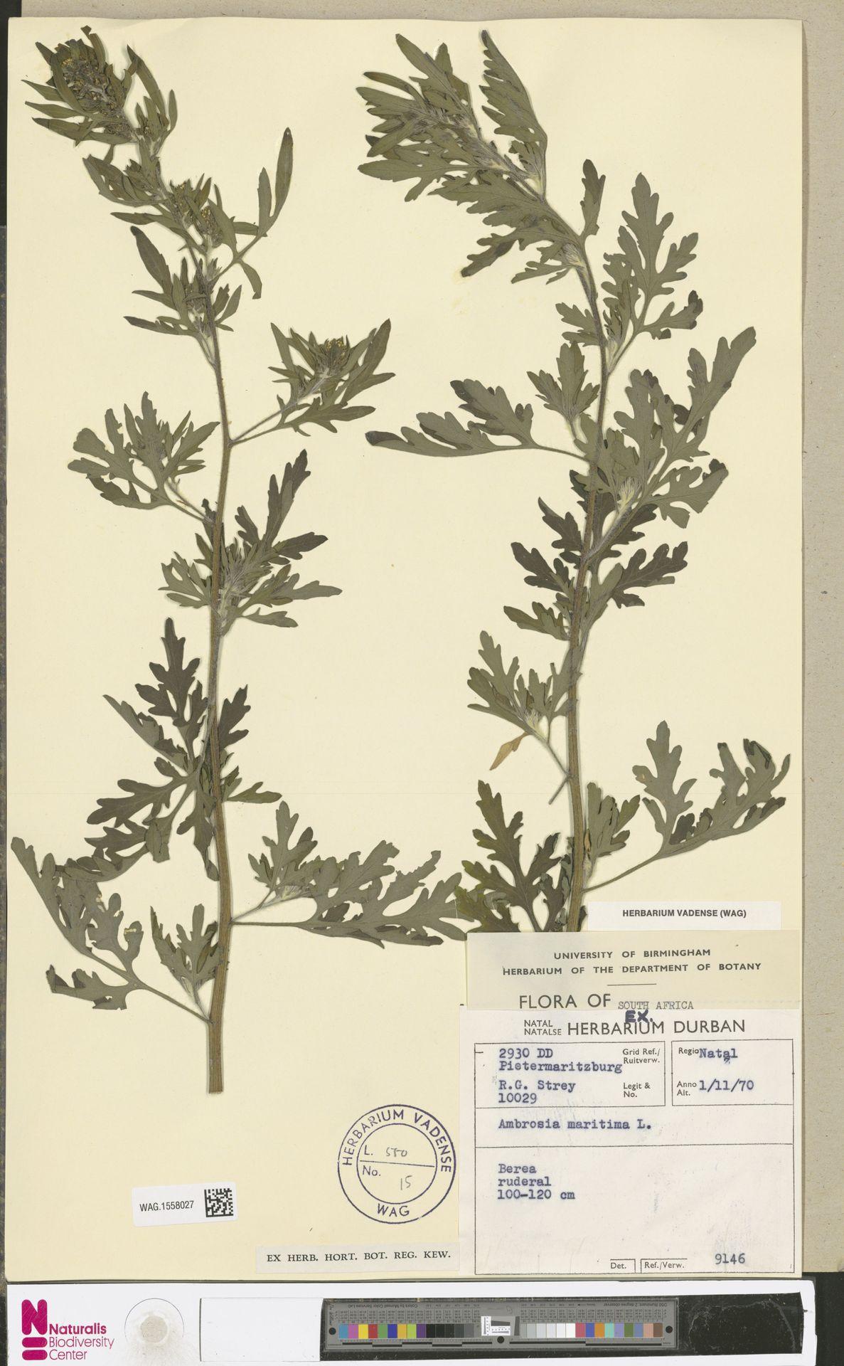 WAG.1558027 | Ambrosia maritima L.