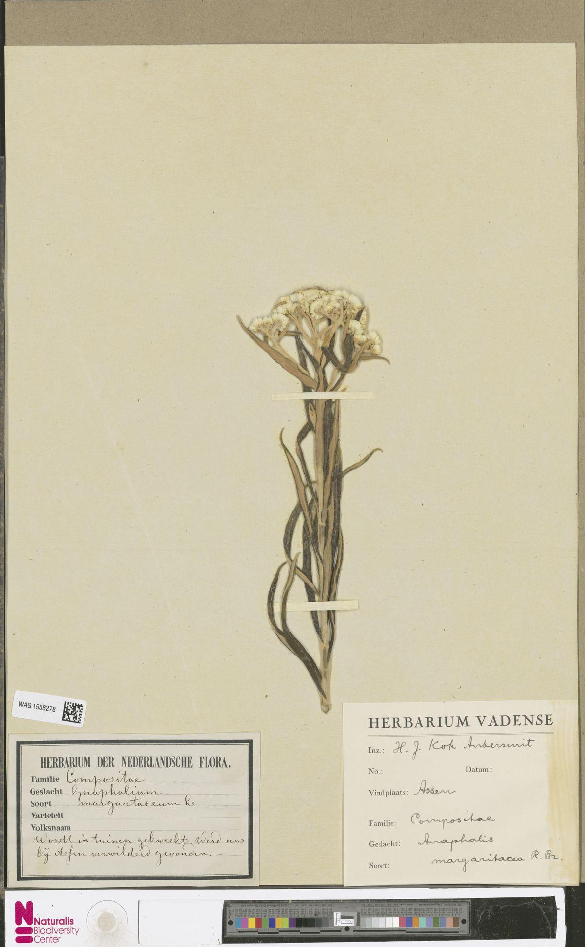 WAG.1558278 | Anaphalis margaritacea (L.) Benth. & Hook.f.
