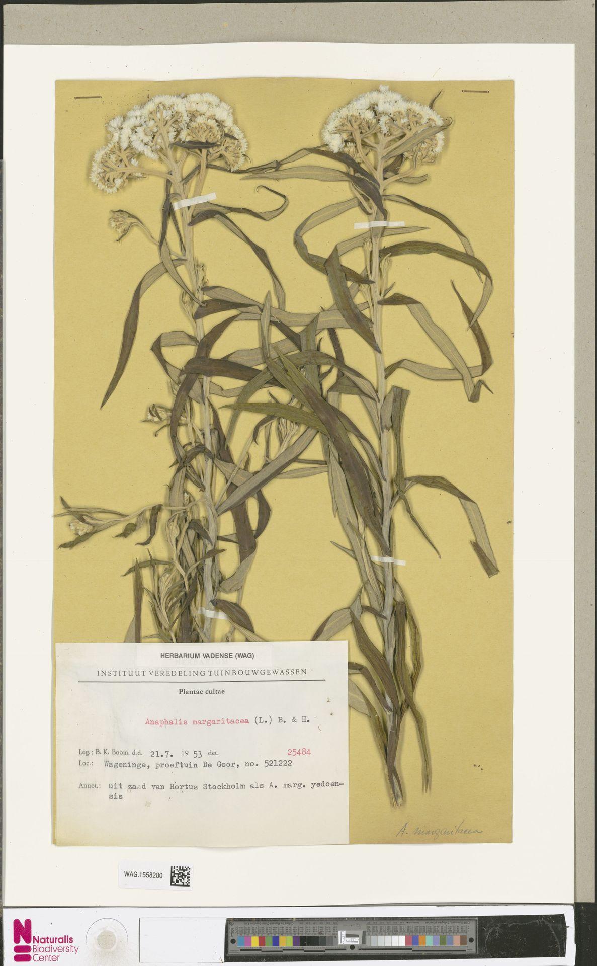 WAG.1558280 | Anaphalis margaritacea (L.) Benth. & Hook.f.