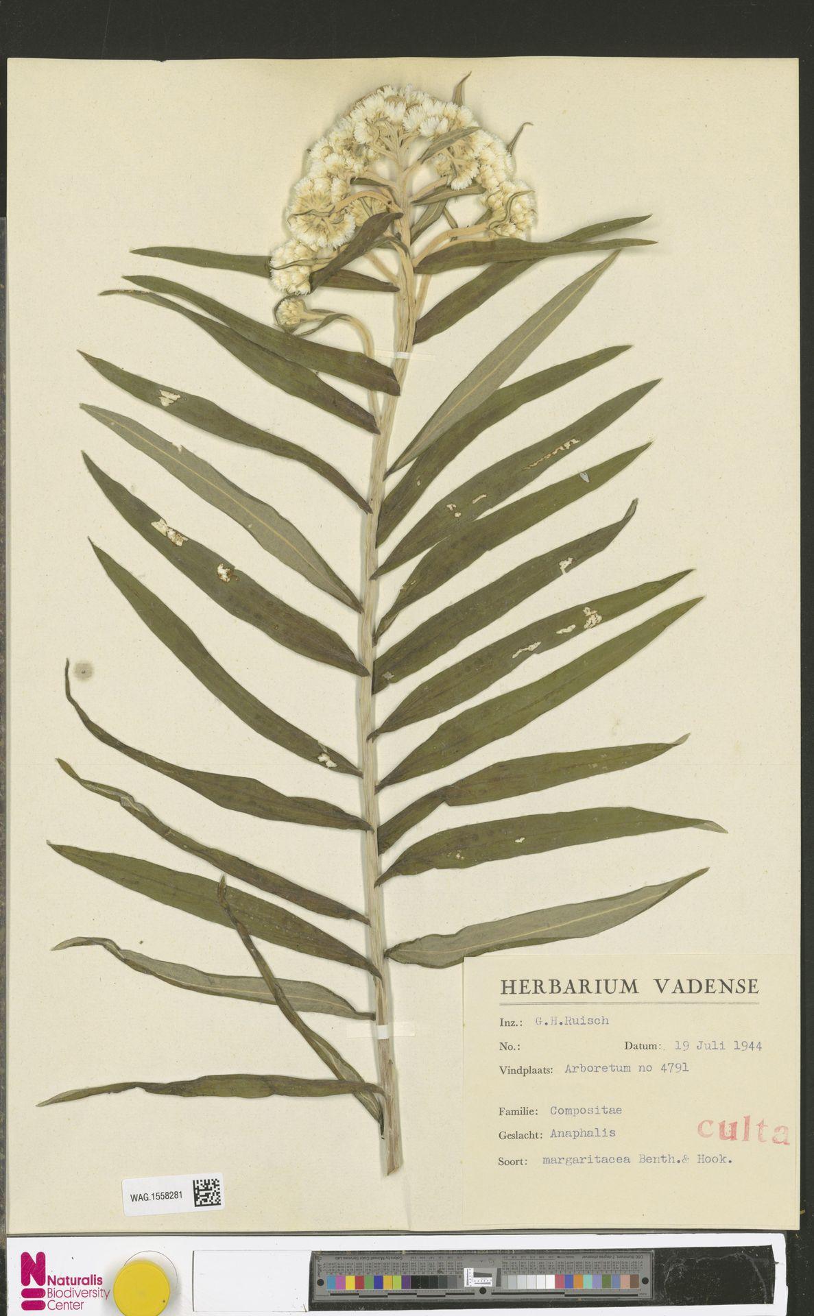 WAG.1558281 | Anaphalis margaritacea (L.) Benth. & Hook.f.