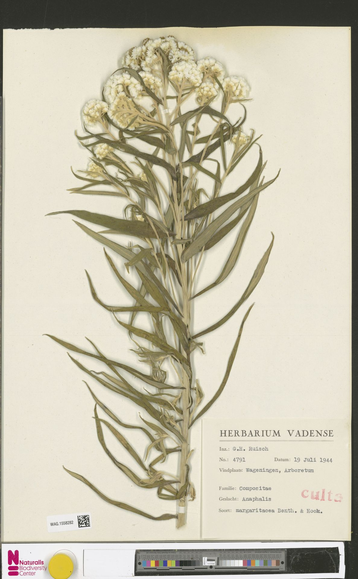 WAG.1558282 | Anaphalis margaritacea (L.) Benth. & Hook.f.