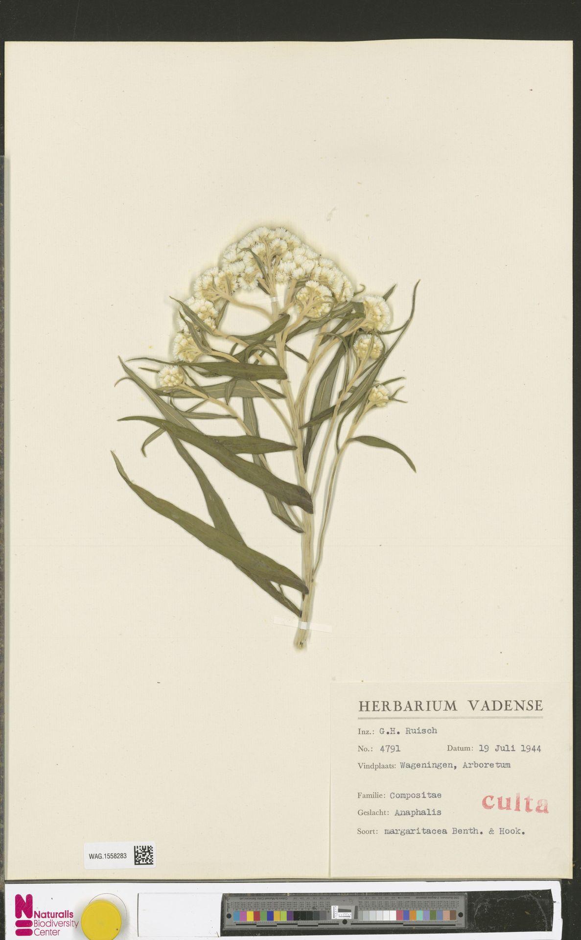WAG.1558283 | Anaphalis margaritacea (L.) Benth. & Hook.f.