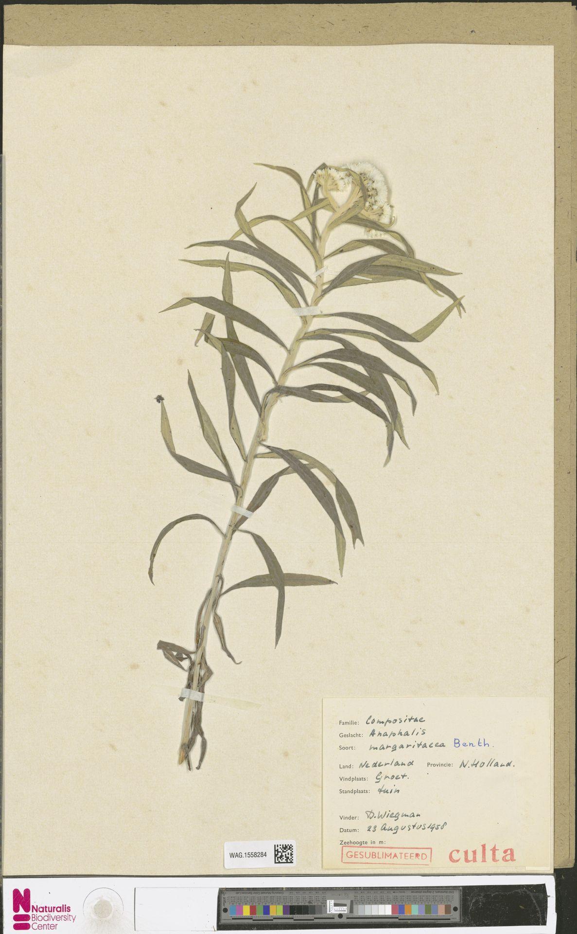 WAG.1558284 | Anaphalis margaritacea (L.) Benth. & Hook.f.